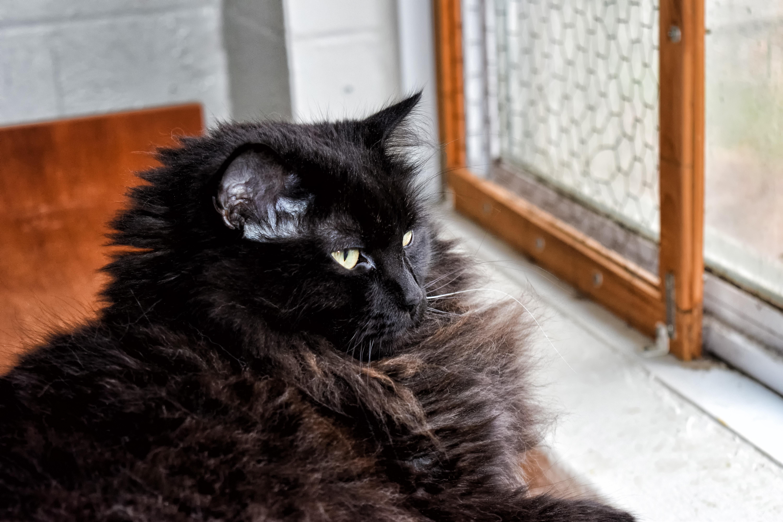 Fotos Gratis Gatito Gato Negro Bigotes Canad 225