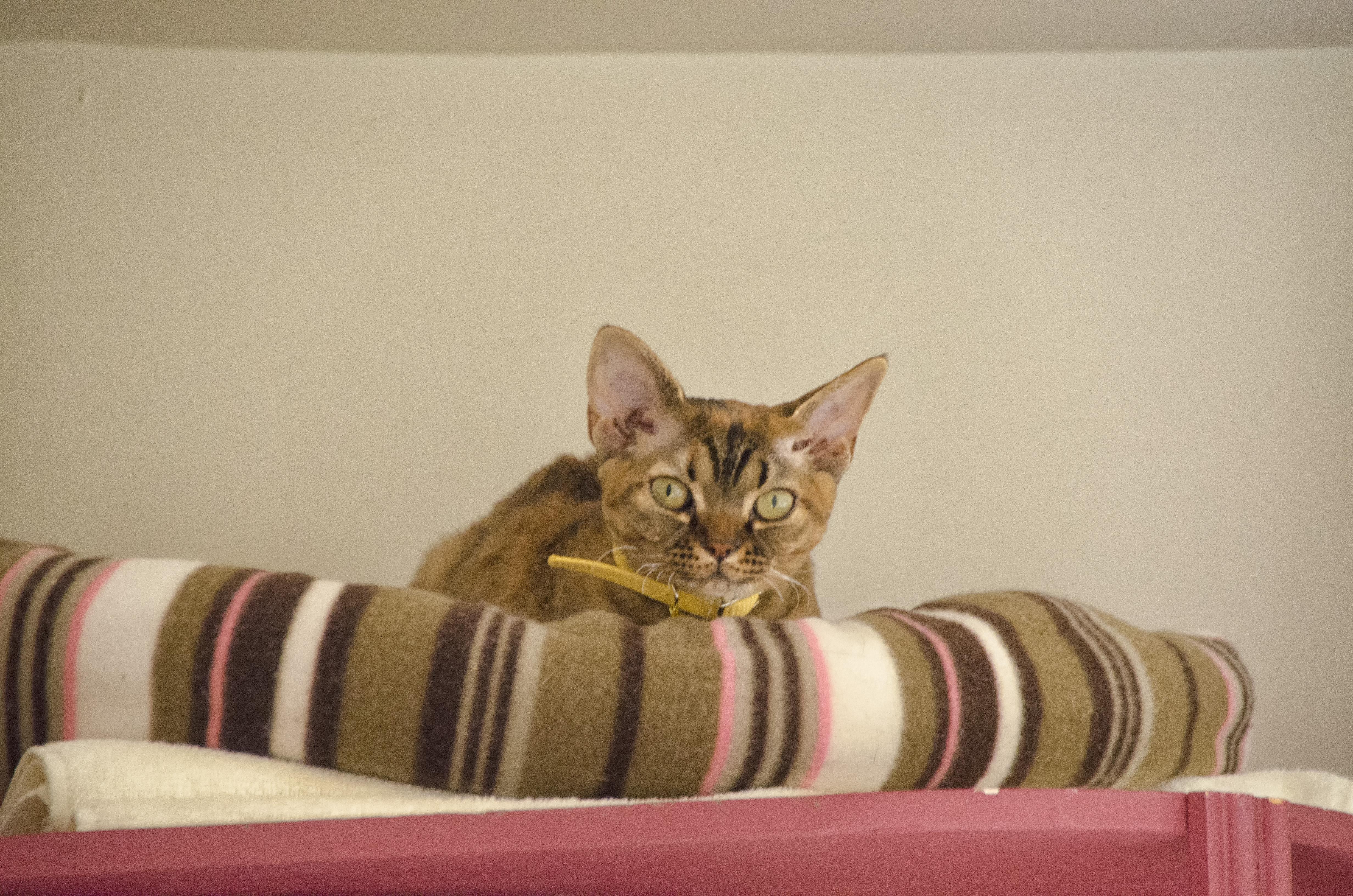 Abyssinian Cat Quebec