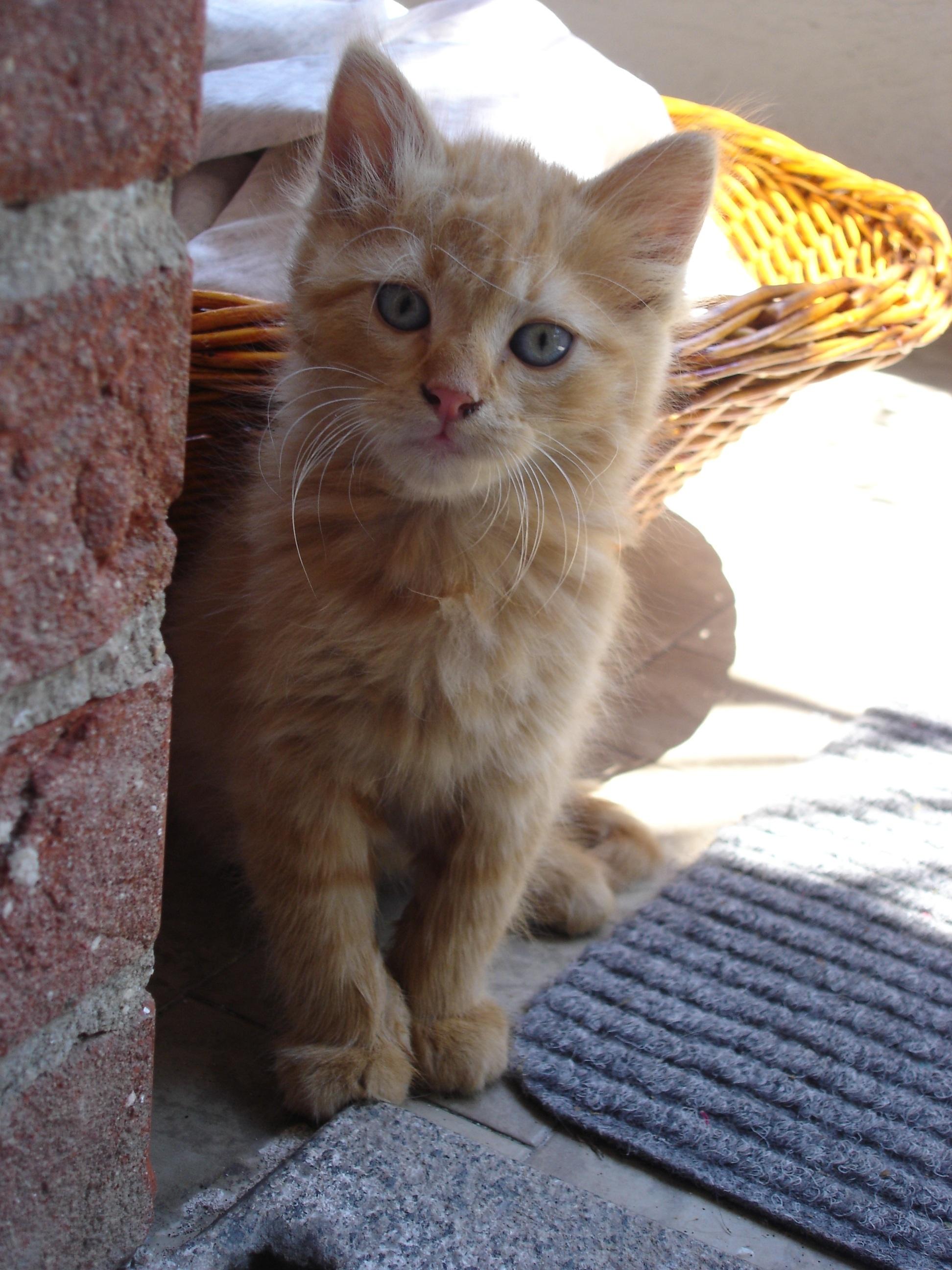 Gambar  anak kucing, binatang menyusui, cambang, bertulang ...