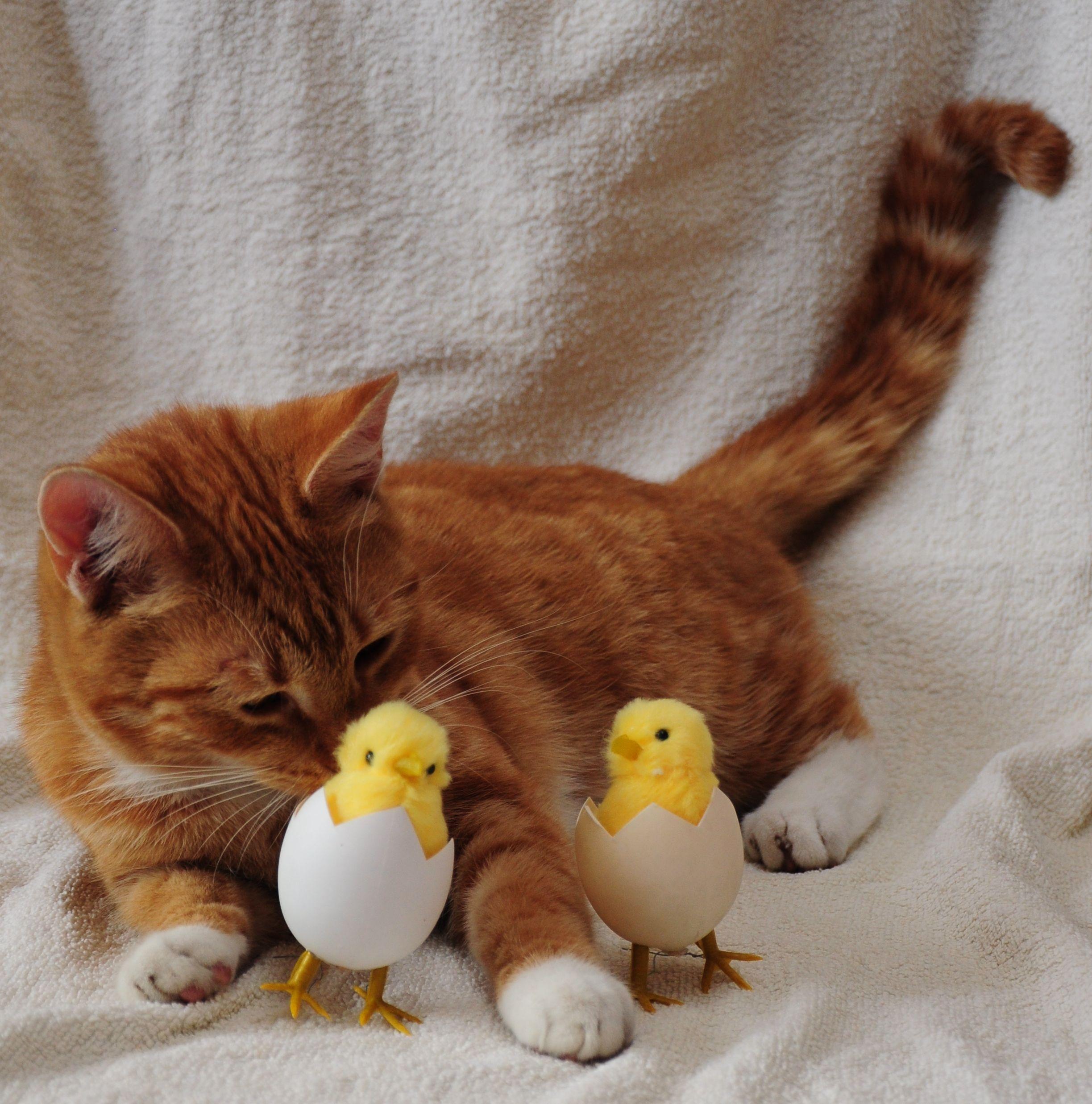 Gambar Anak Kucing Binatang Menyusui Telur Cambang