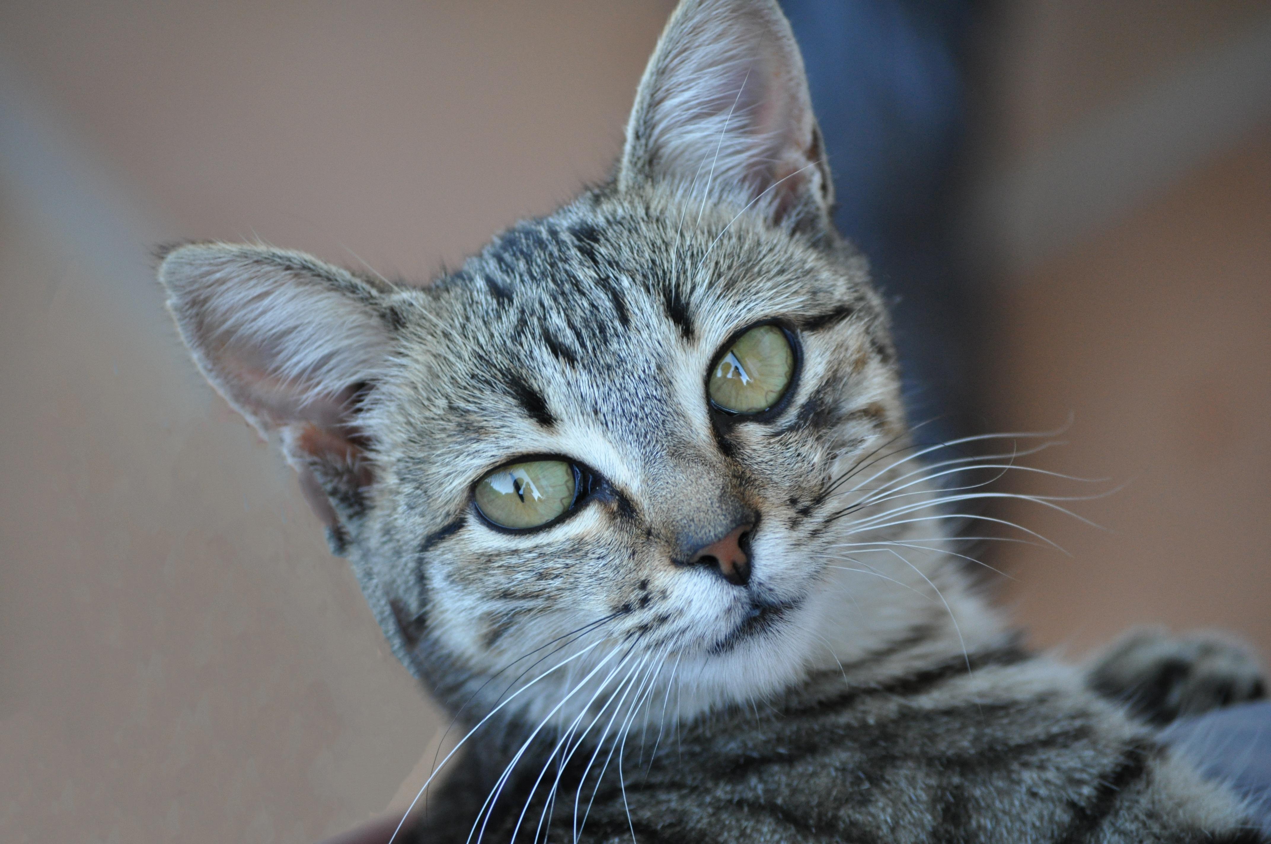 Free kitten fauna close up eyes whiskers grey tiger