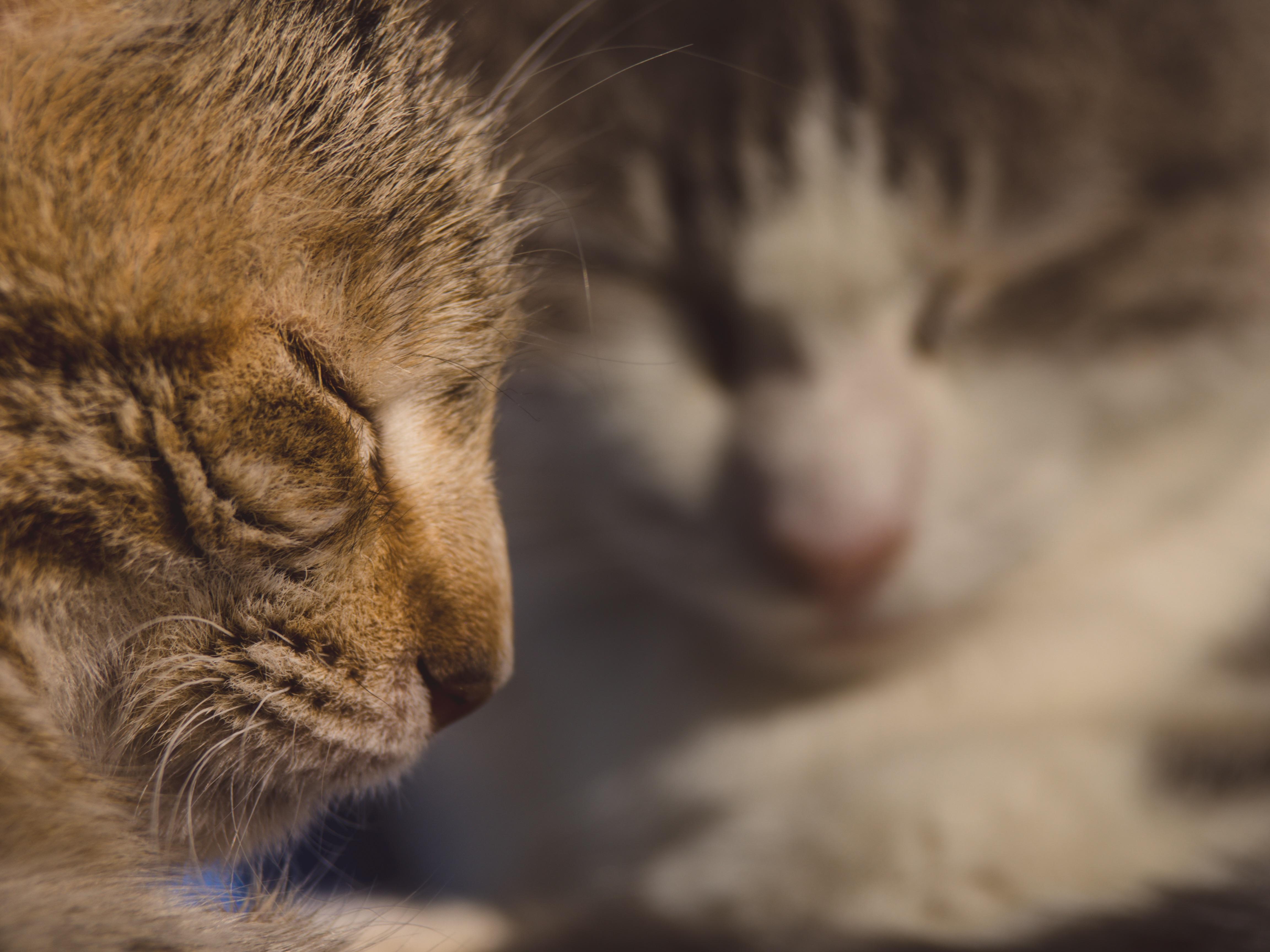Darmowe Zdjęcia Kotek Fauna ścieśniać Nos Wąsy Pysk Oko
