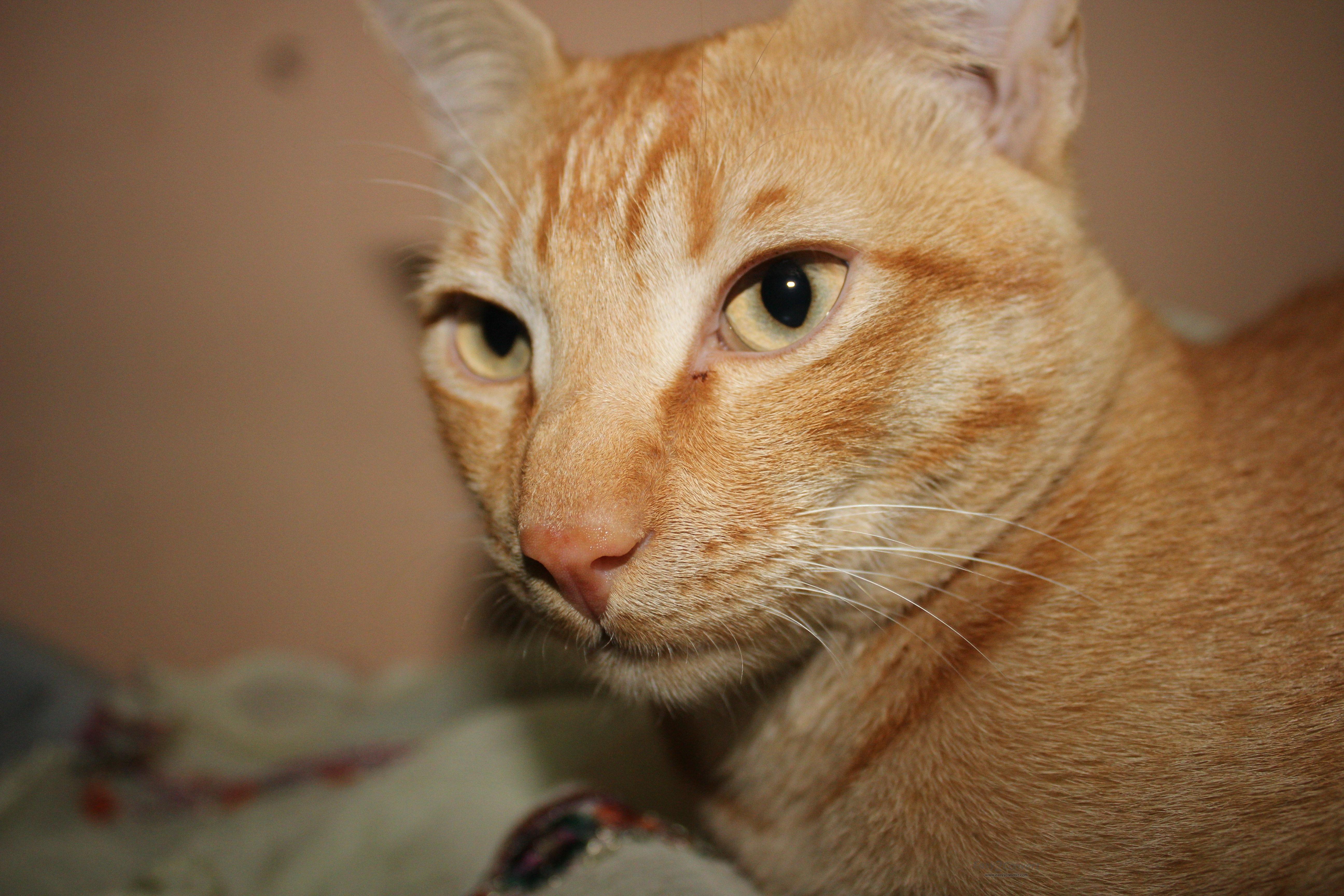 Darmowe Zdjęcia Kotek Fauna ścieśniać Nos Wąsy Pysk Skóra