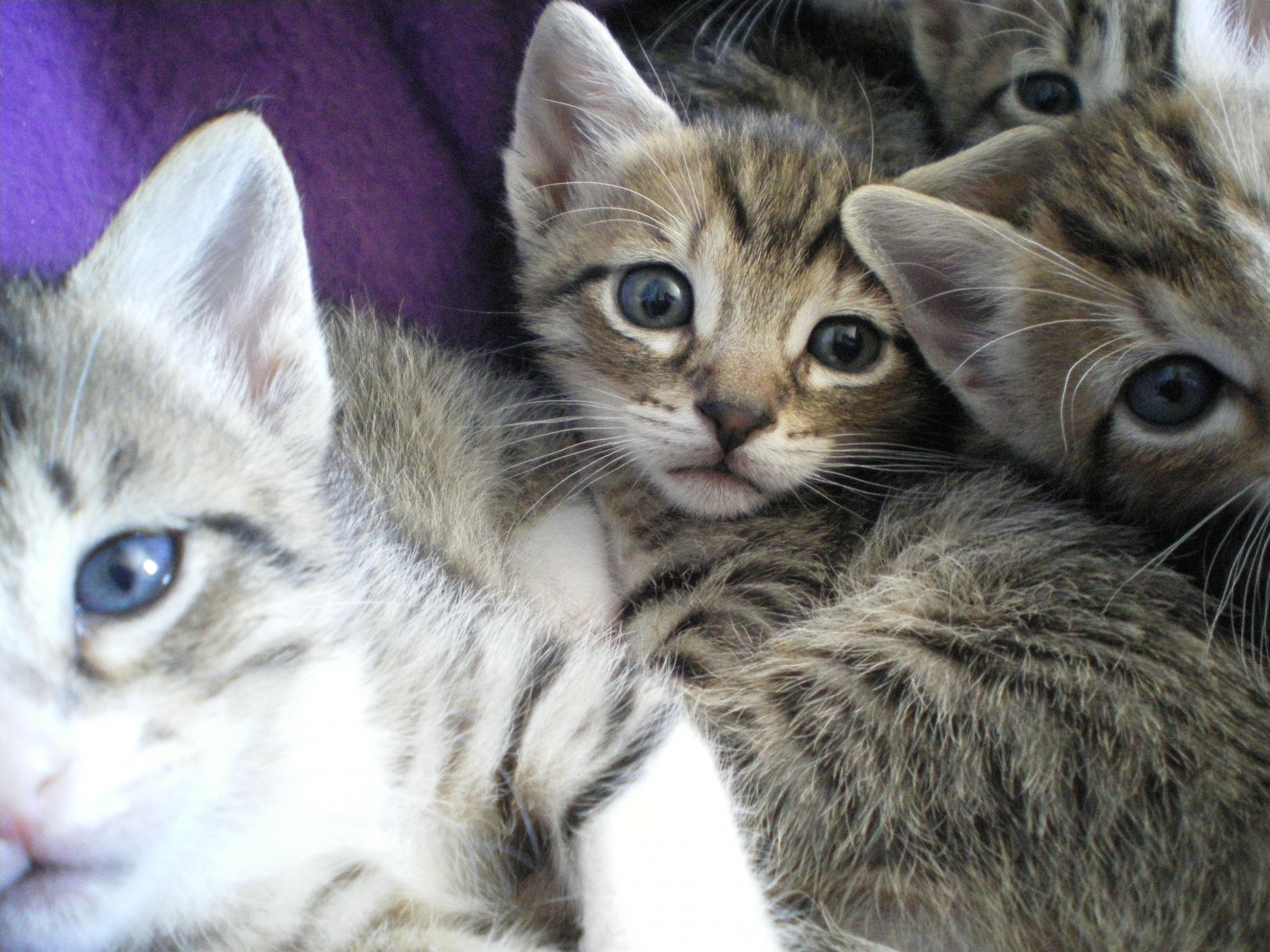 Free kitten fauna eyes whiskers savannah vertebrate