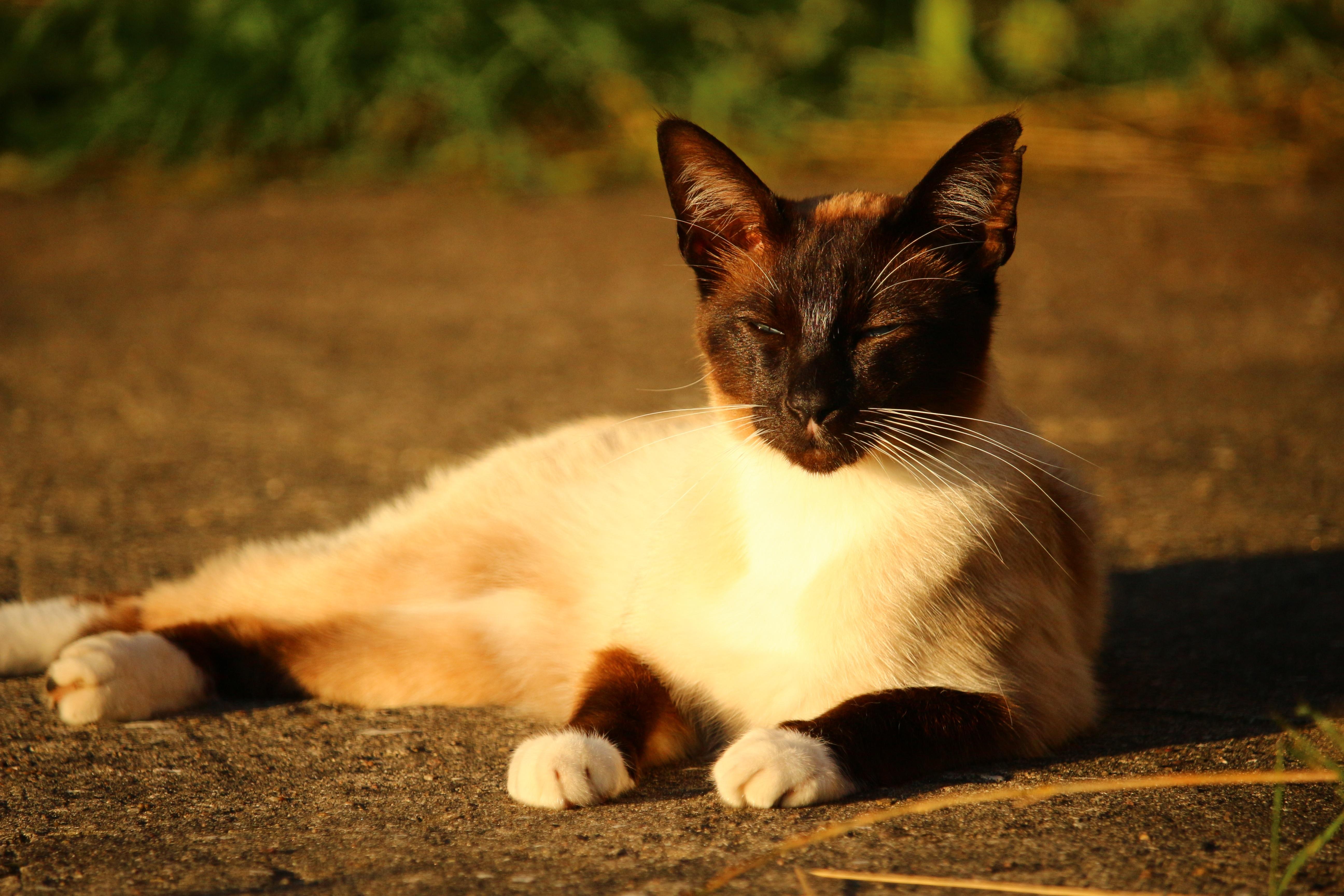 Free kitten fauna siam whiskers vertebrate siamese