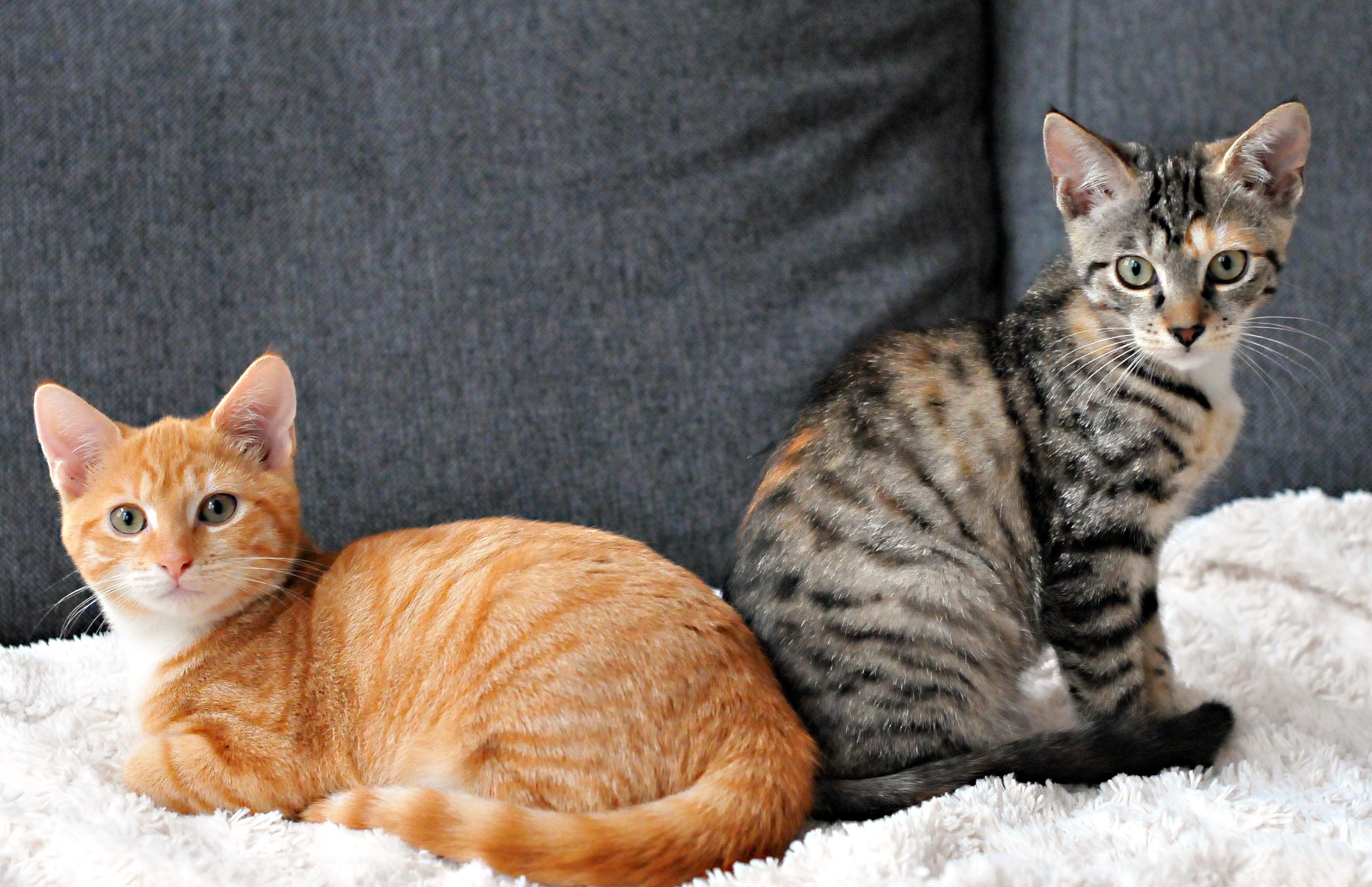 Images Gratuites : chaton, faune, moustaches, savane ...