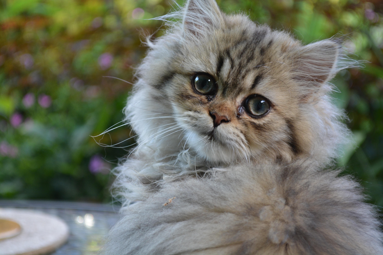 savannah cat for sale prices