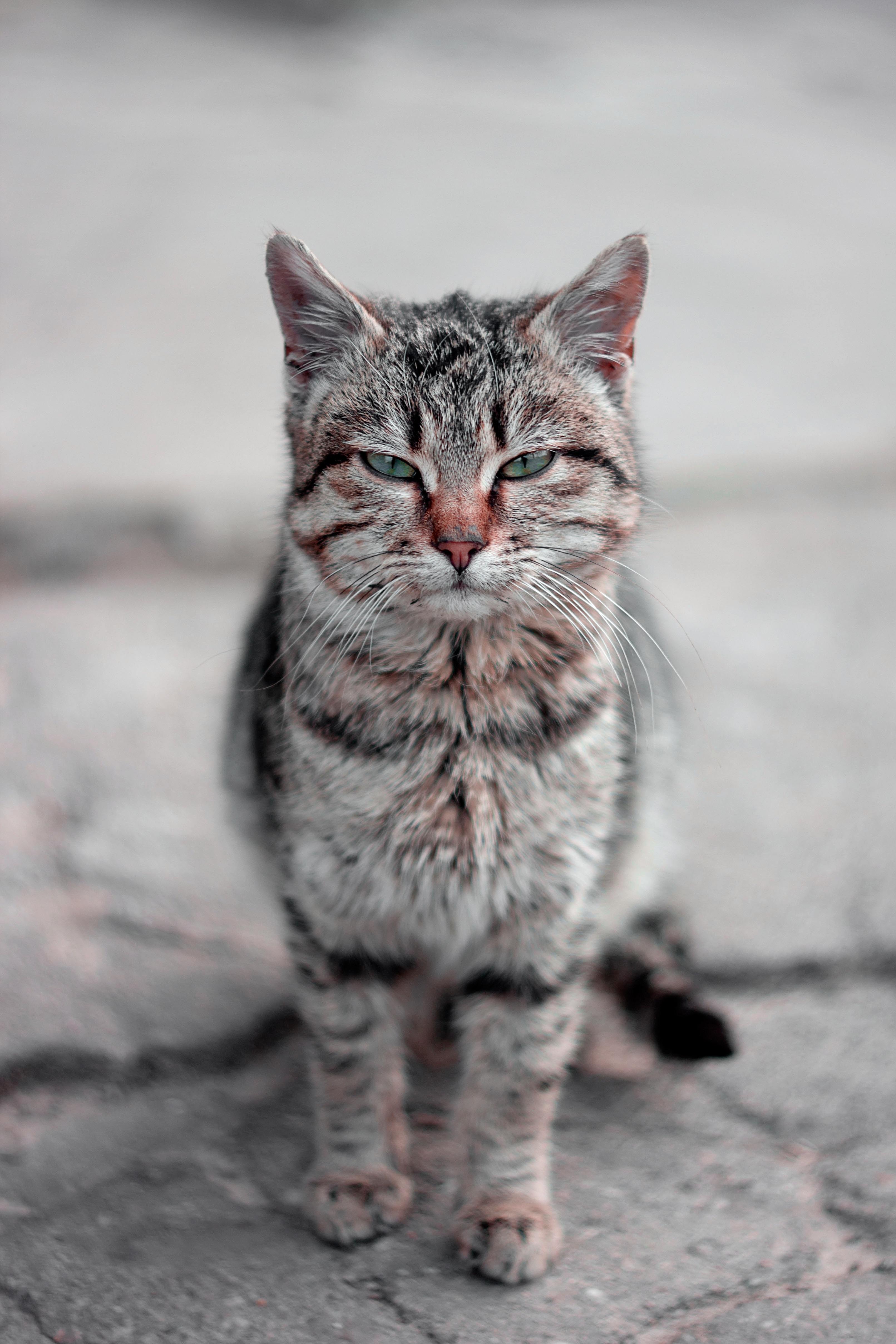 Free kitten fauna whiskers vertebrate tabby cat