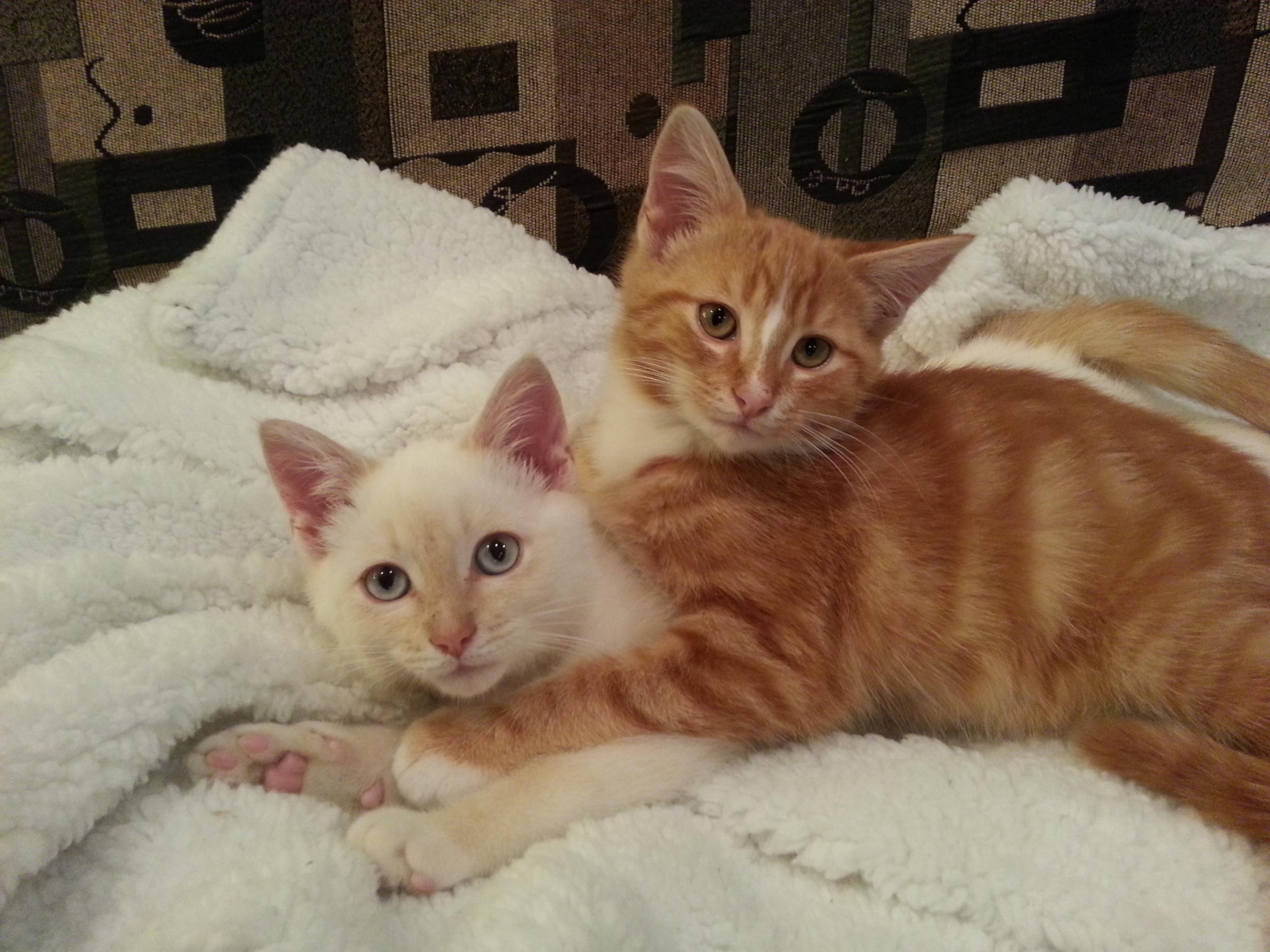 cat breeds tonkinese