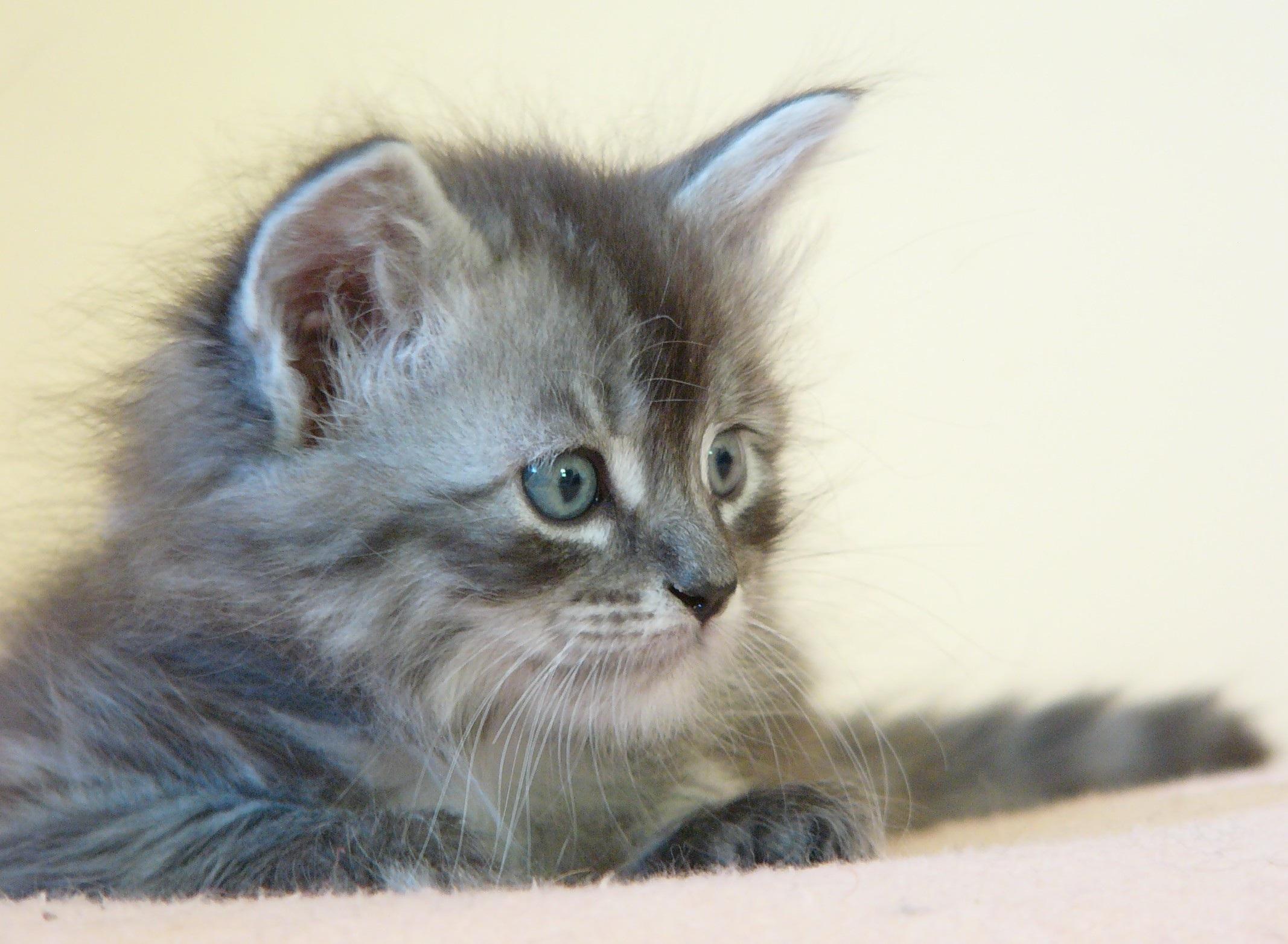 Immagini belle gattino piccolo fauna barba argento for Gatto della foresta norvegese