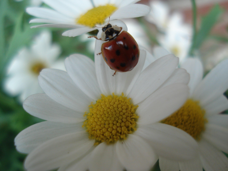 Immagini belle coccinella natura animali fiore - Coccinella foto gratis ...