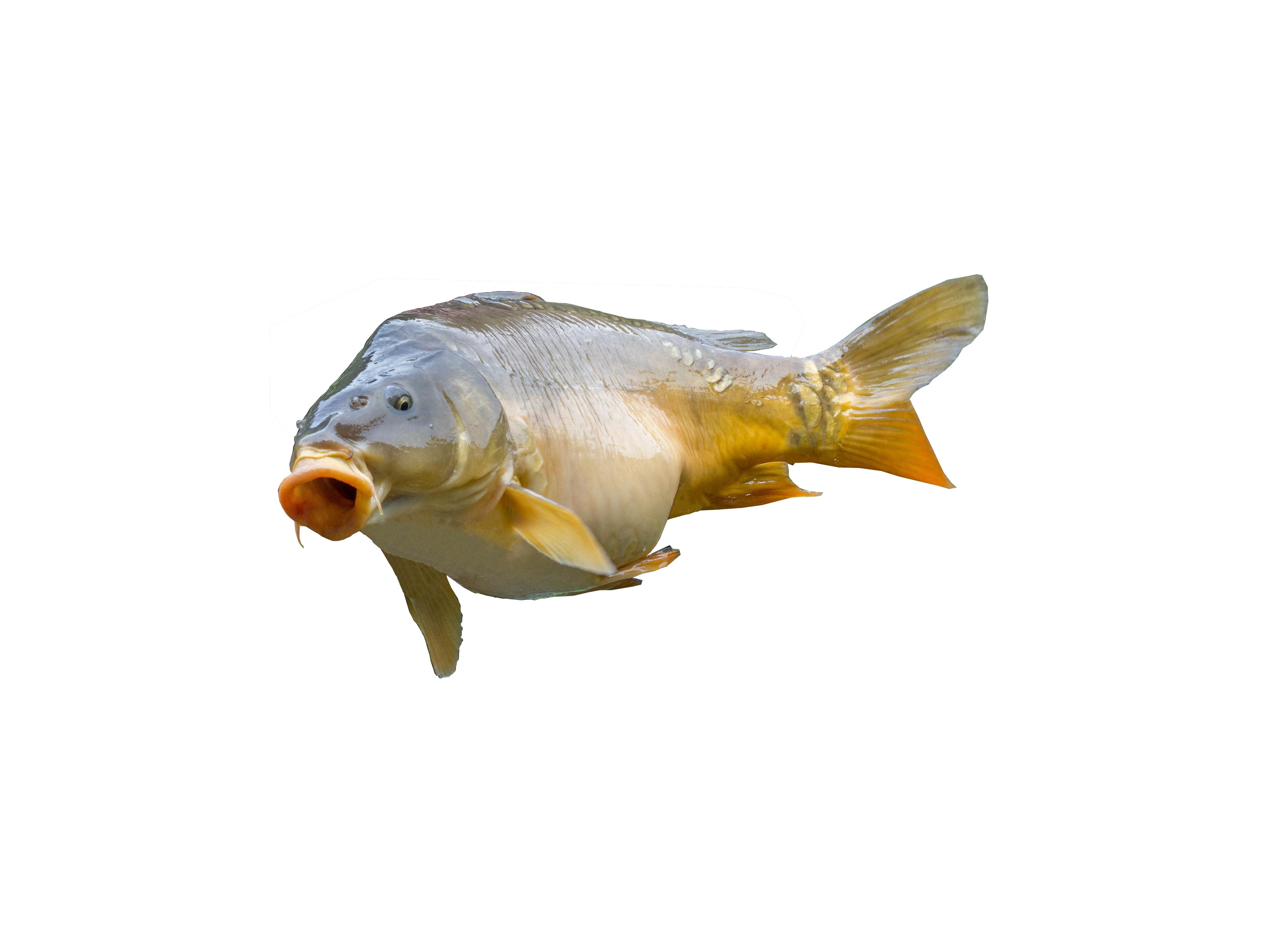 Fotos gratis lago comida pescar perca pescado for Carpa comida