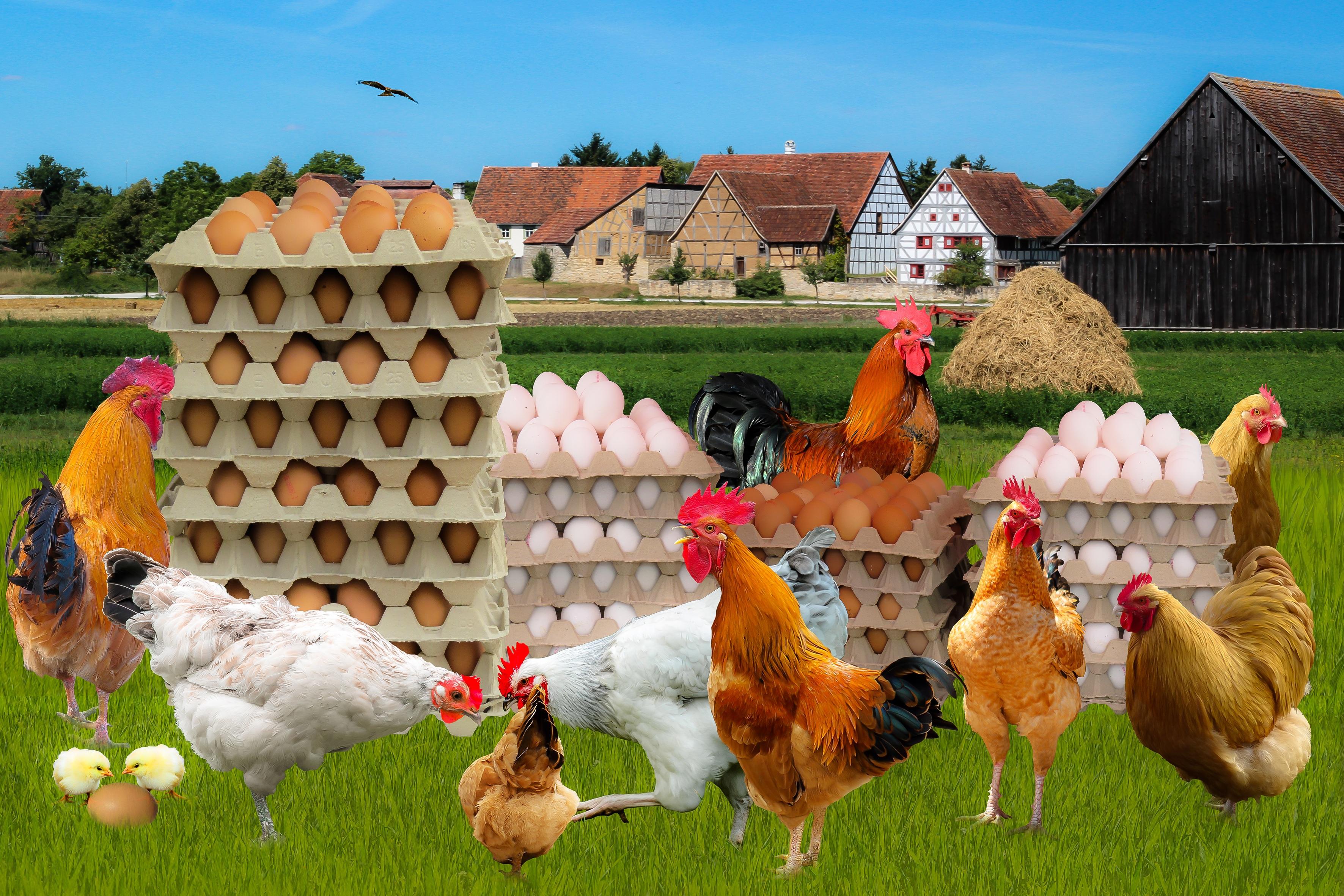 куры на ферме картинка телом политика установлен