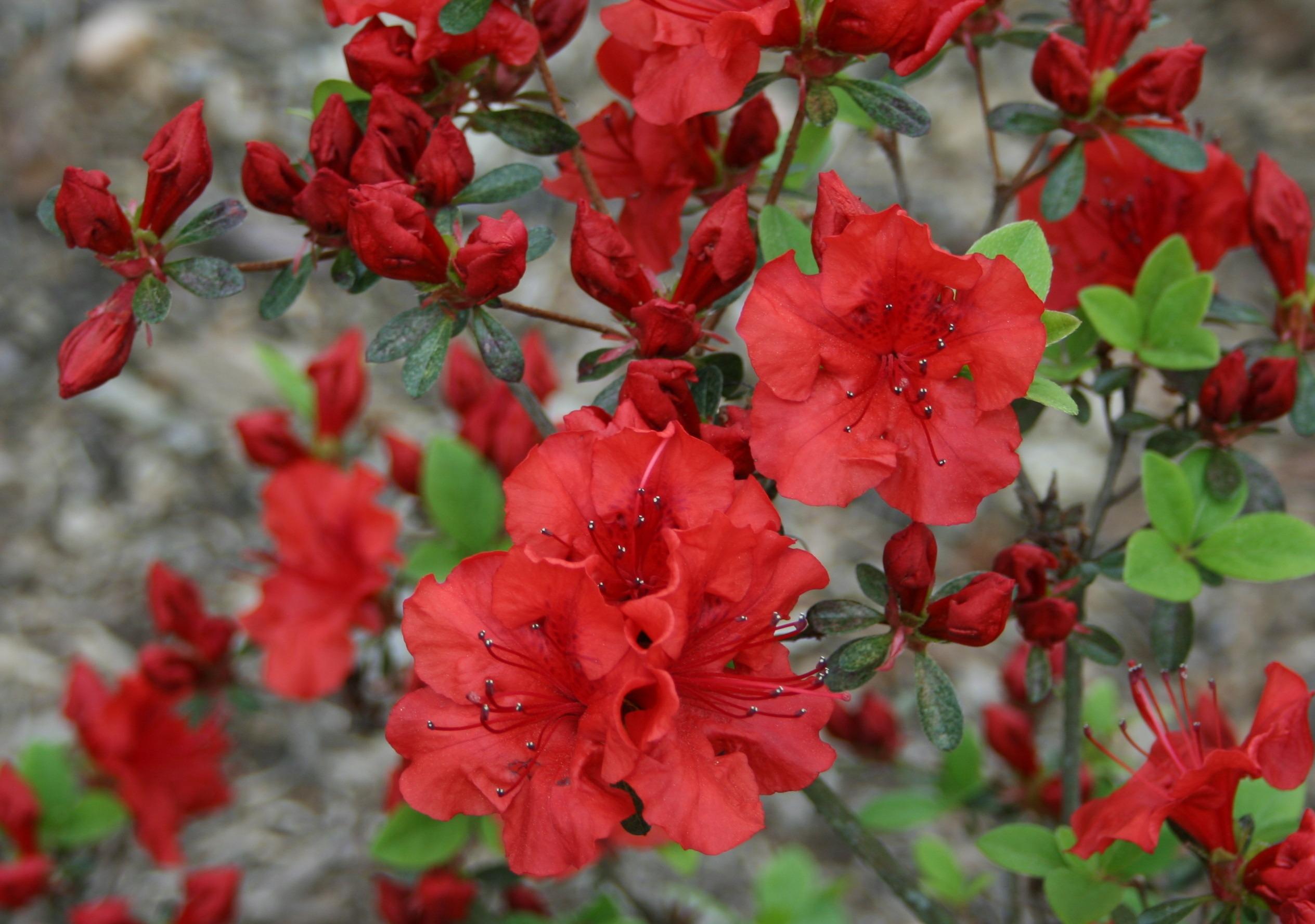 panouissement jardin flore saison en plein air amnagement paysager jardinage arbuste saisonnier rhododendron azale plante fleurs - Planter Un Rhododendron Dans Votre Jardin