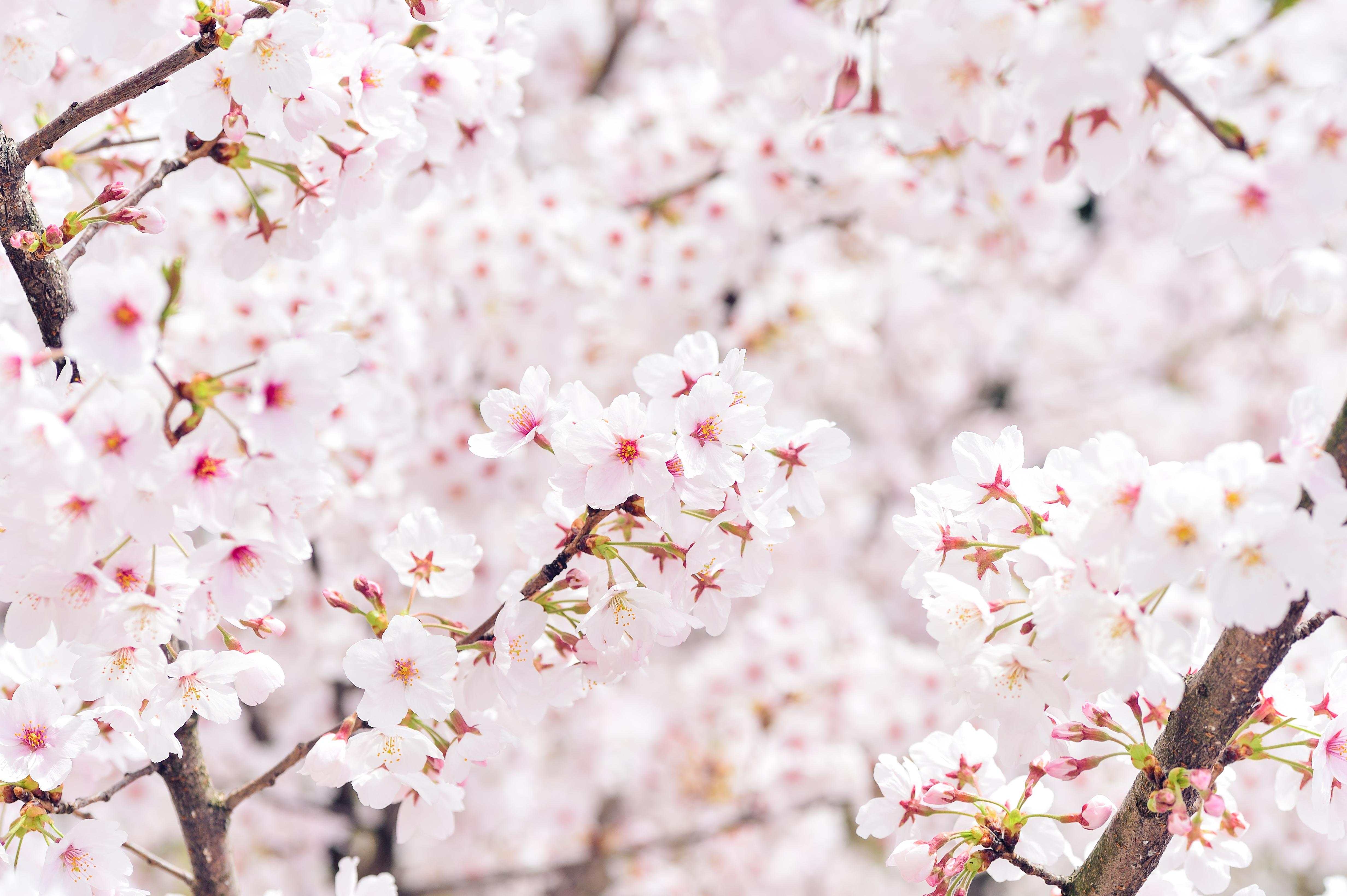 Download 980 Koleksi Gambar Bunga Sakura Putih Gratis Terbaik