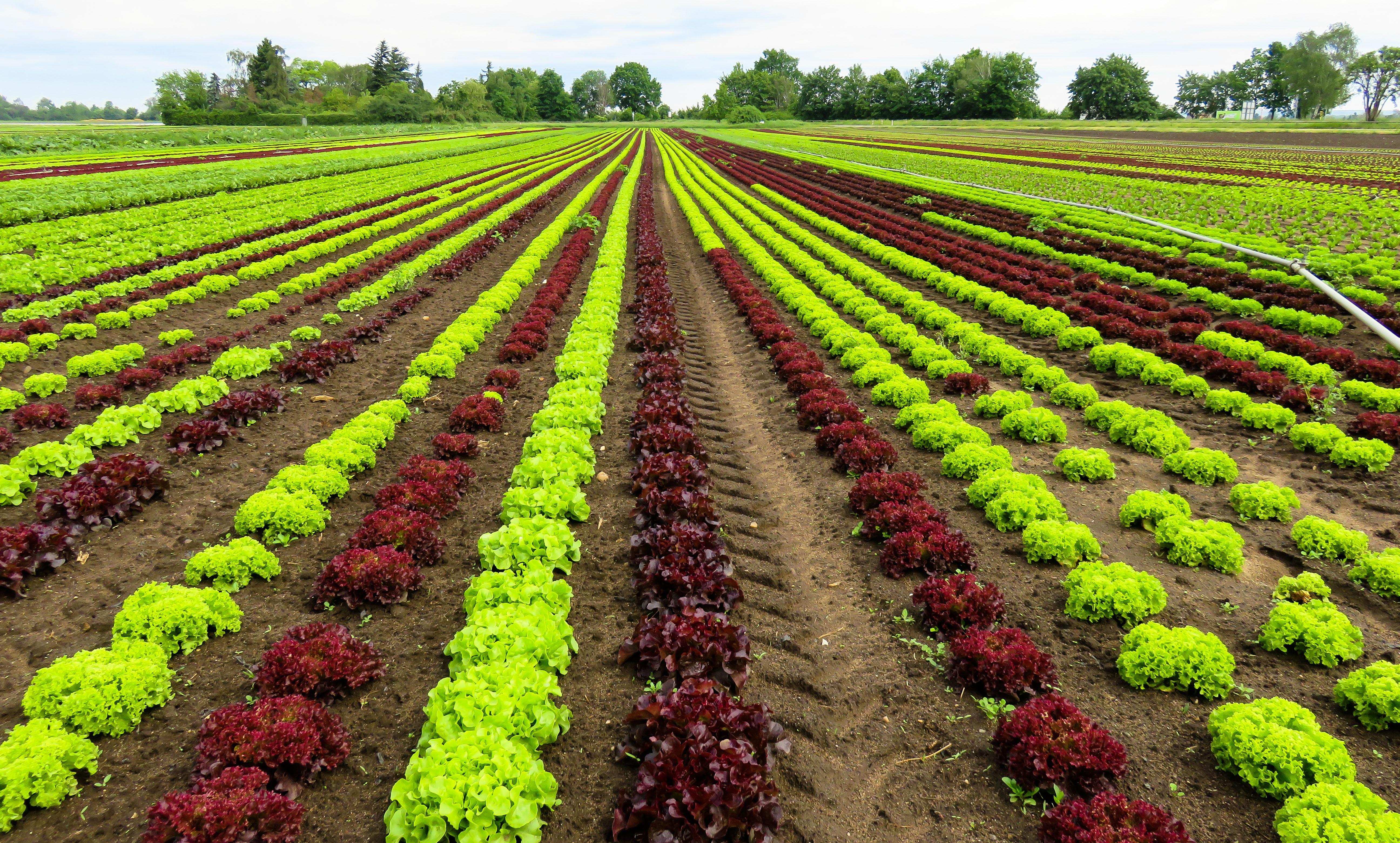 plantation de laitue
