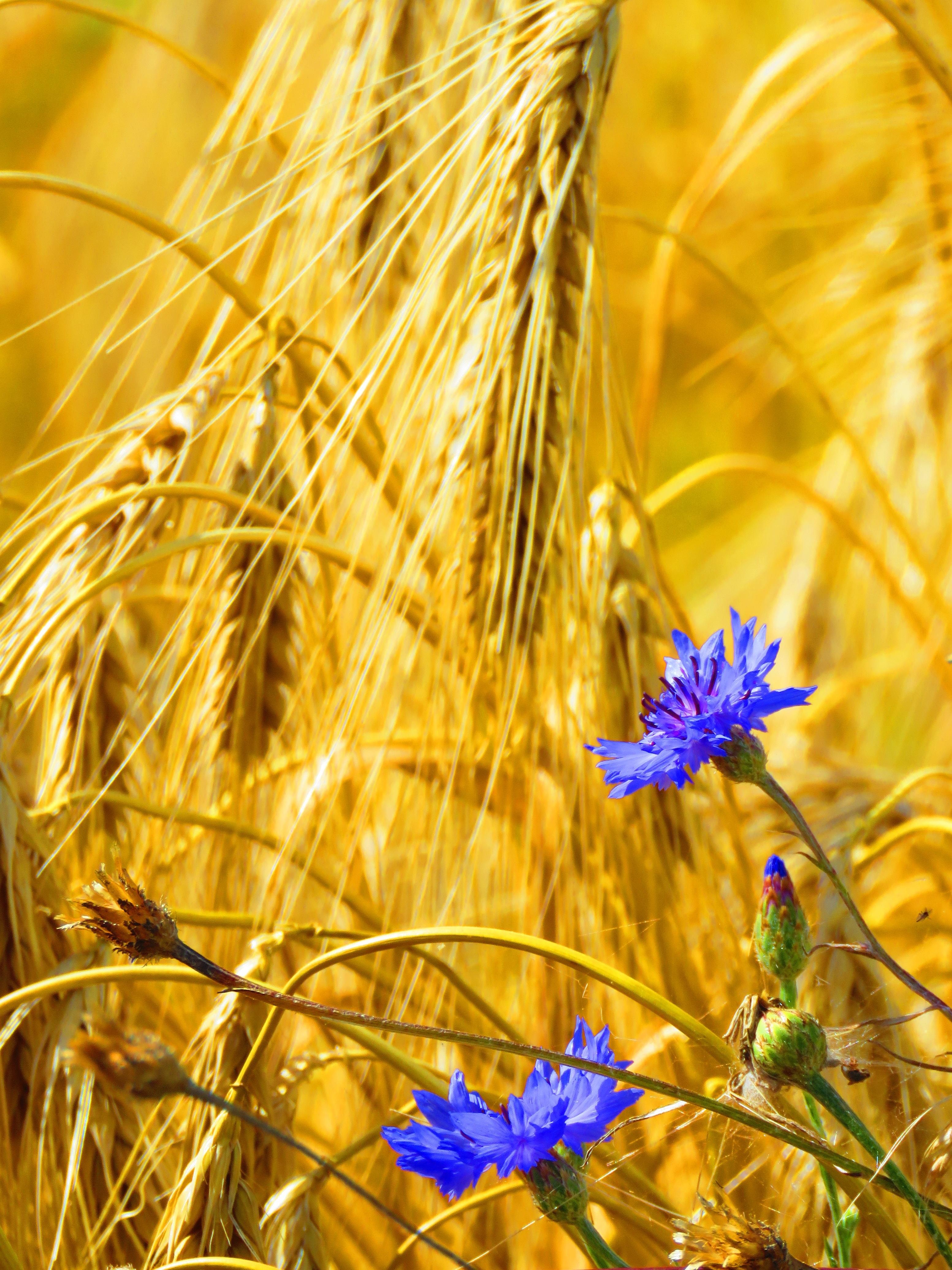 Картинки васильки и пшеница
