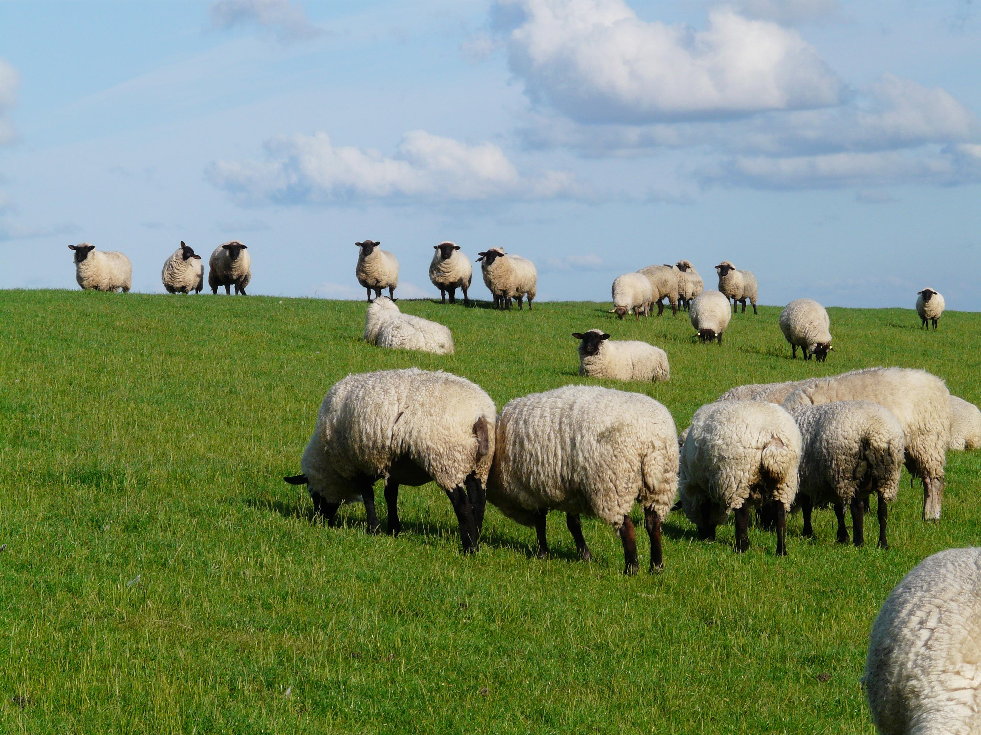 Images gratuites paysage herbe champ prairie - Photos de moutons gratuites ...