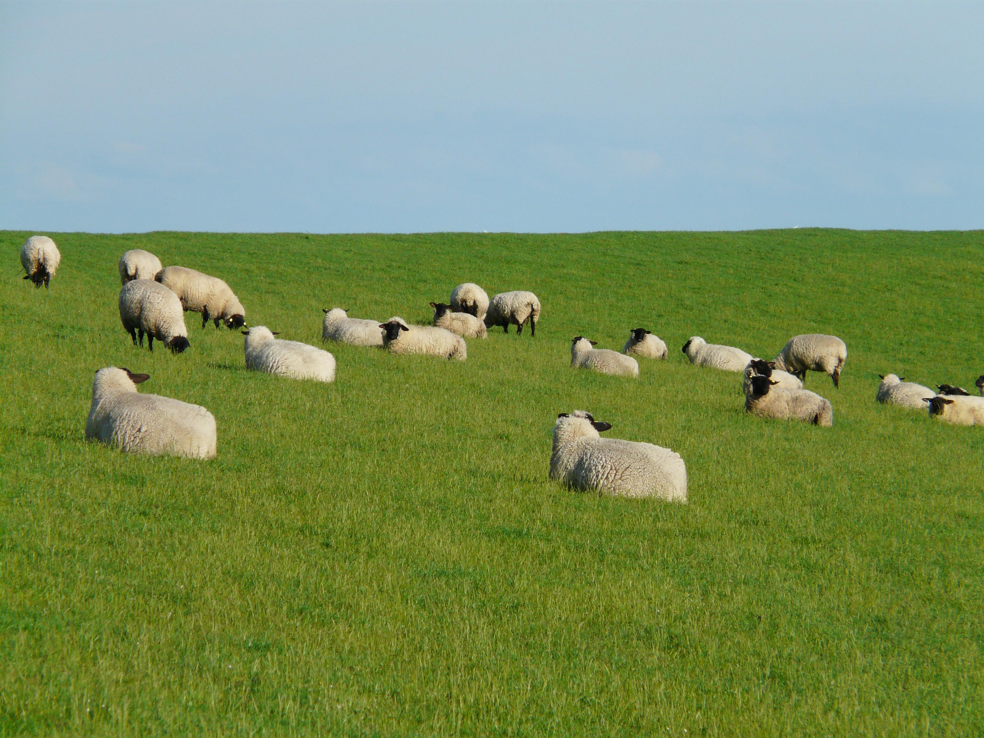 картинки луг с овцами очень ответственно подходят