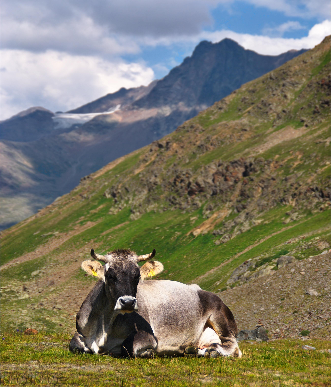 Kostenlose foto : Landschaft, Berg, Wiese, Gebirge, Kuh ...