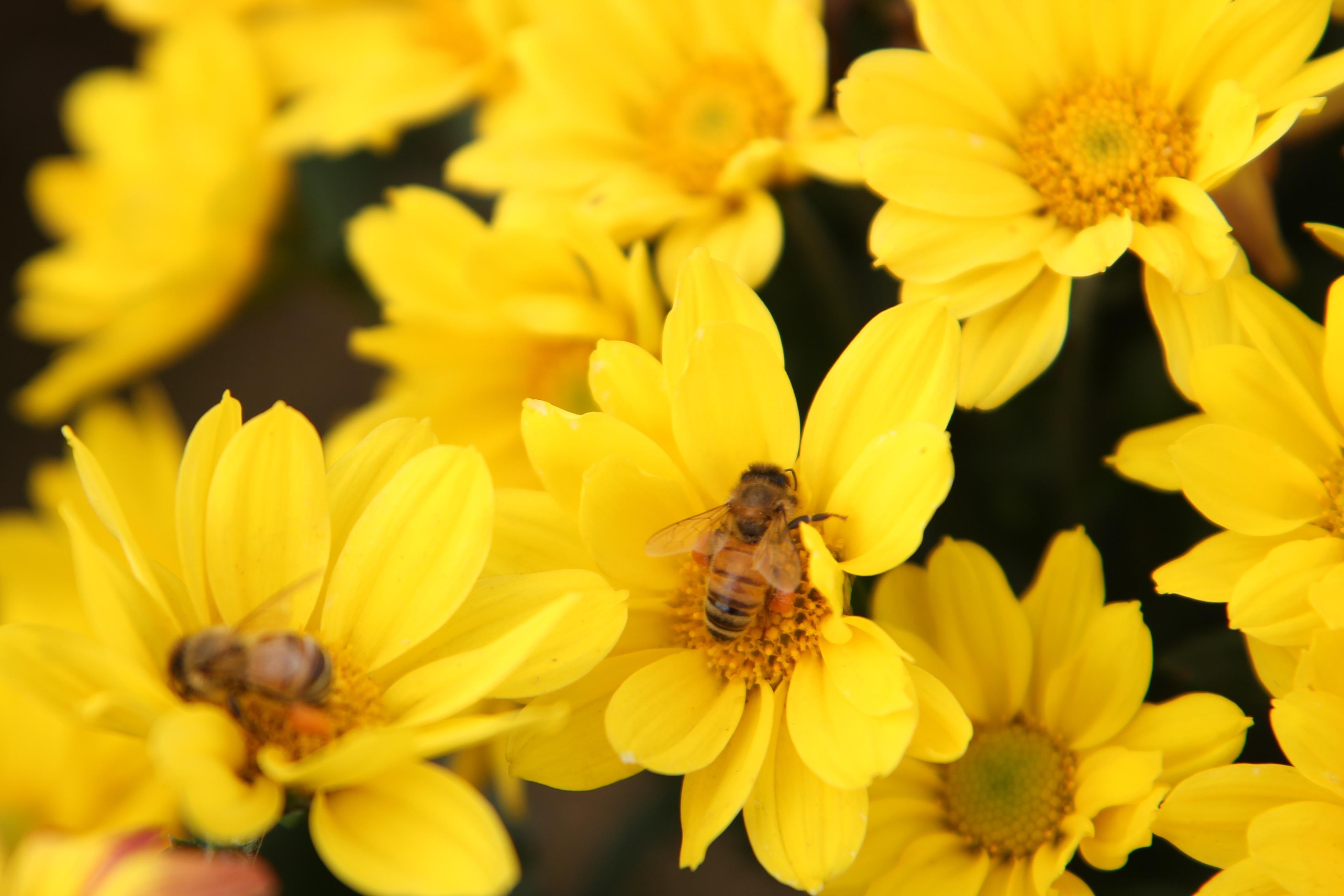 images gratuites paysage la nature fleur plante p tale pollen l 39 automne jaune flore. Black Bedroom Furniture Sets. Home Design Ideas