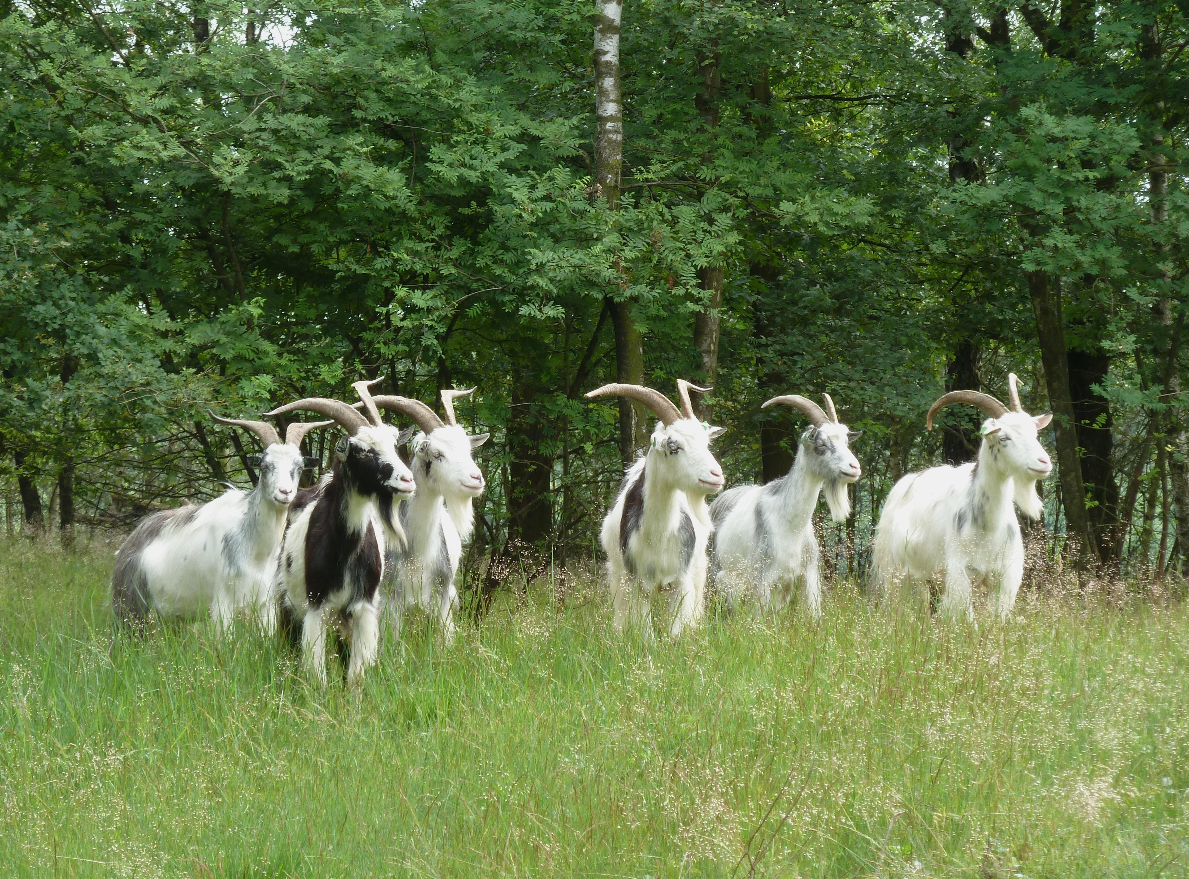 здравствует козы в лесу картинки большом