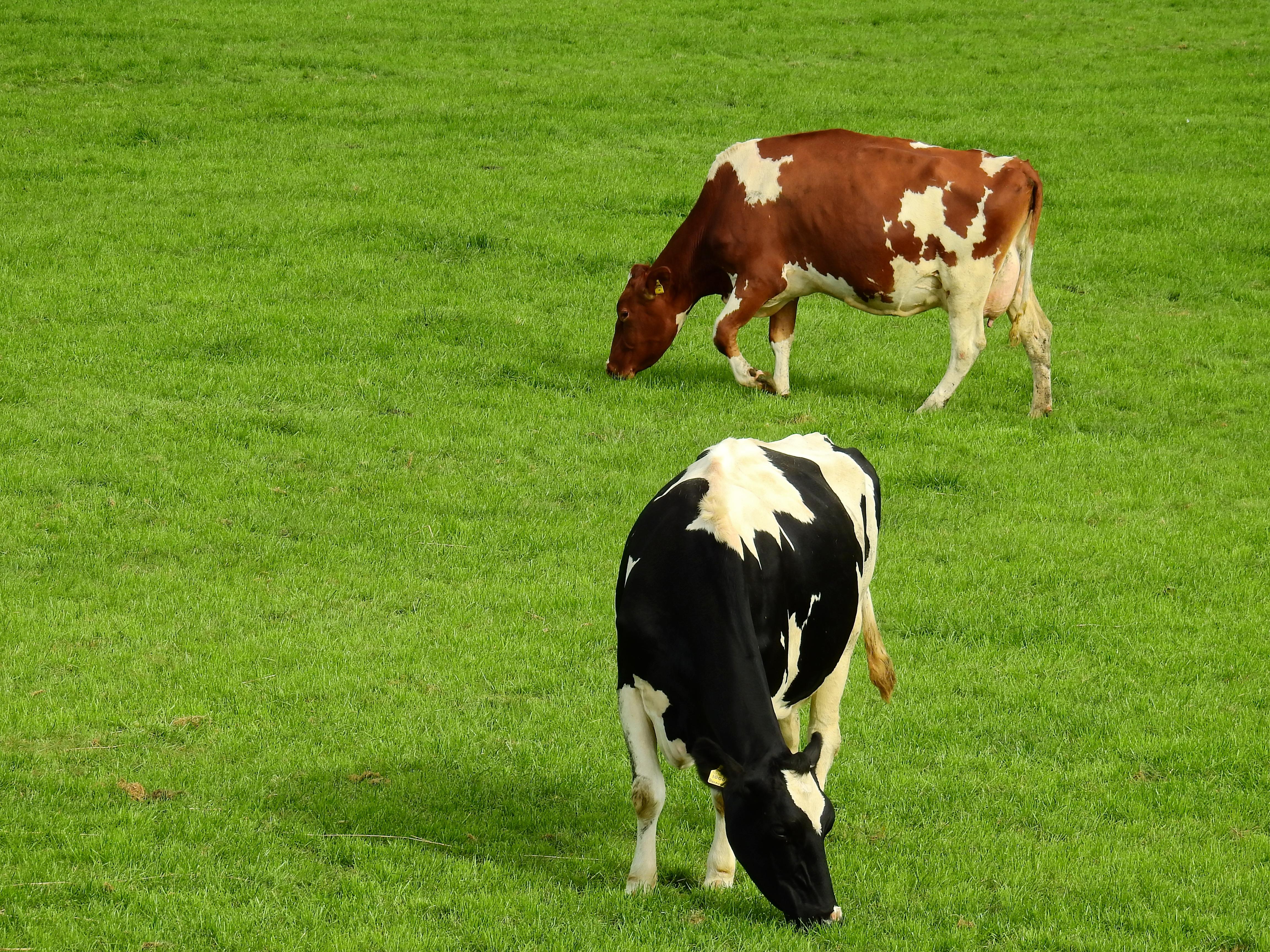 красивые картинки коровы на пастбище если вас