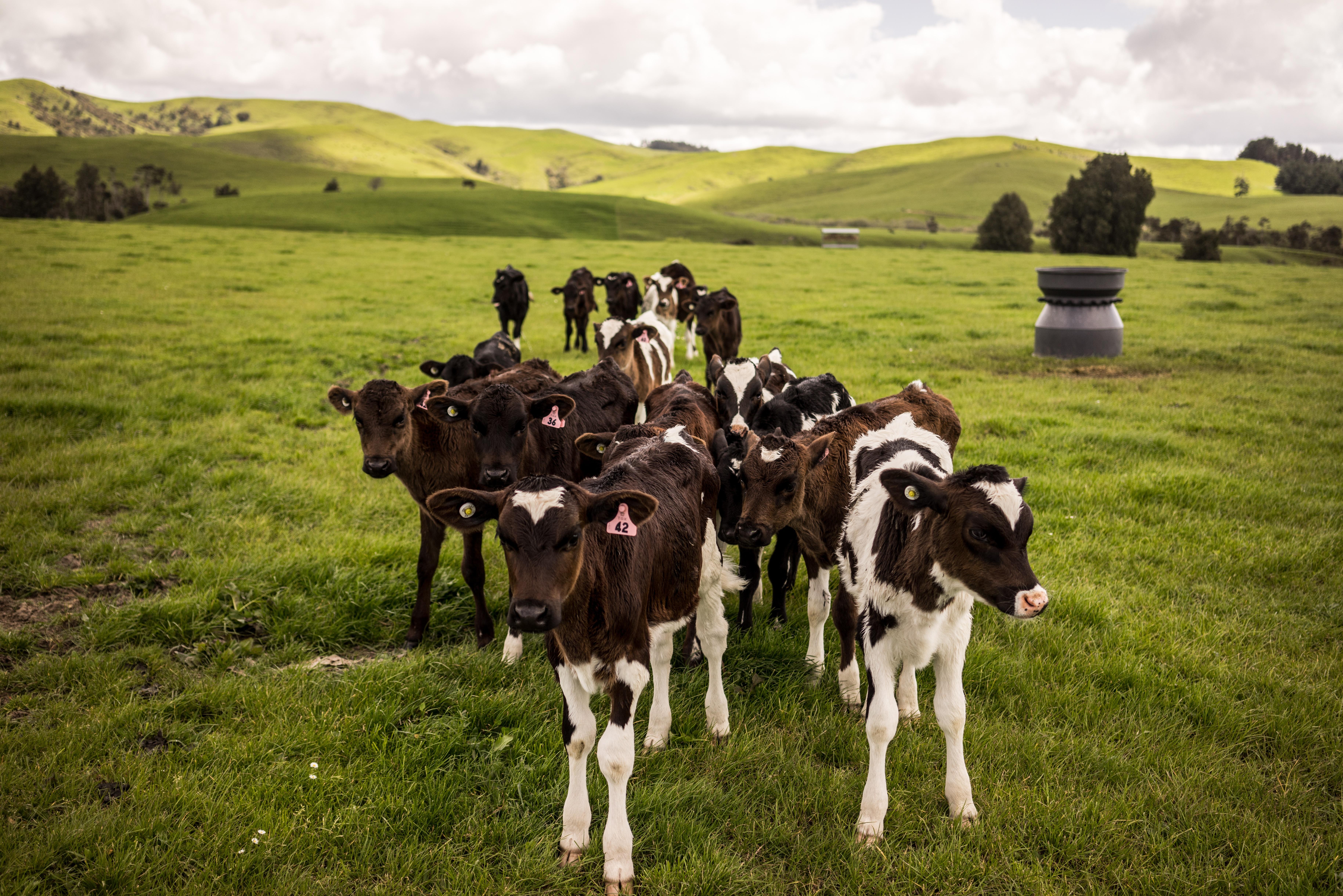 Скачать бесплатно mp3 мычание коровы