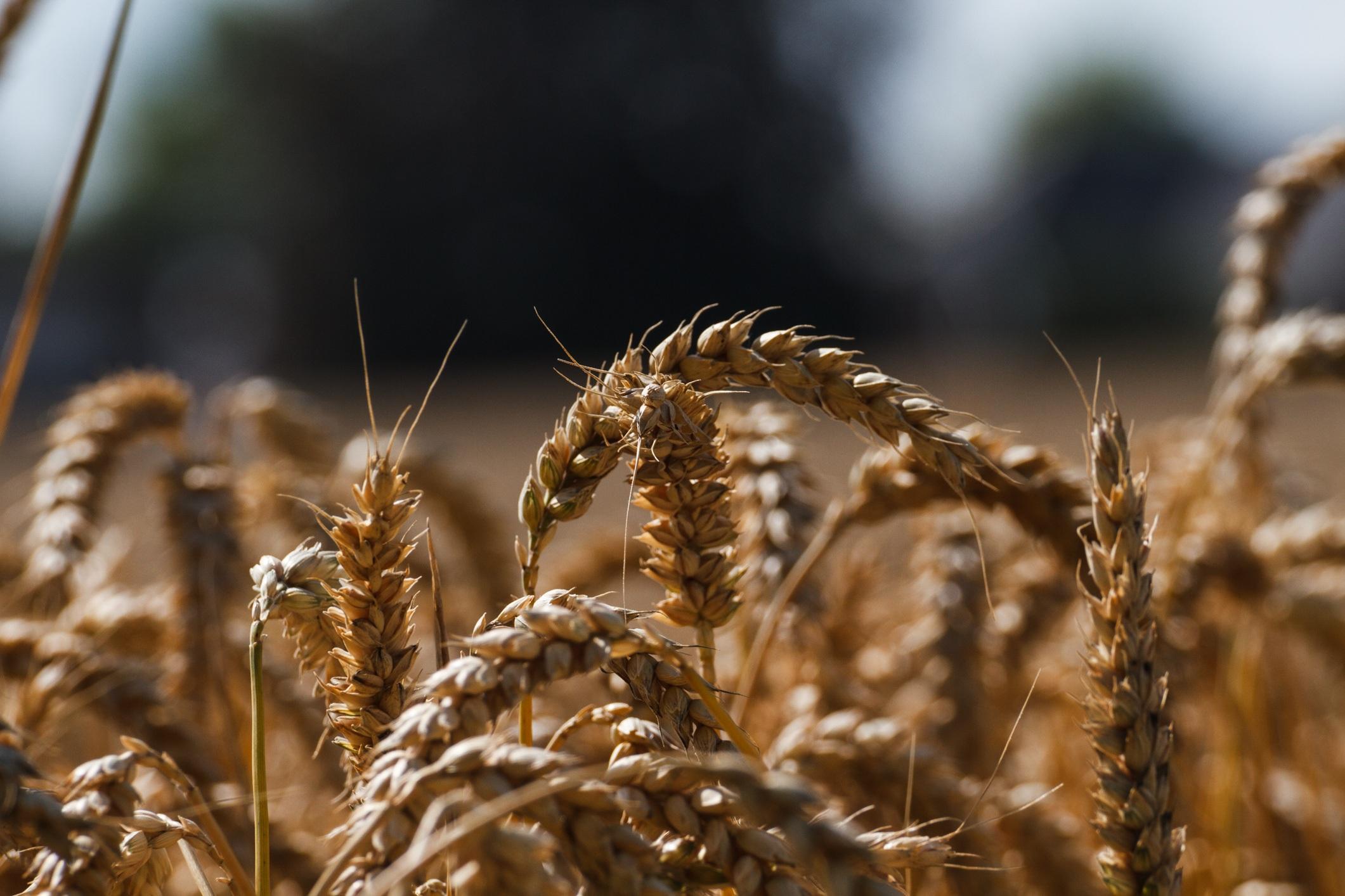 Красивая картинка зерно