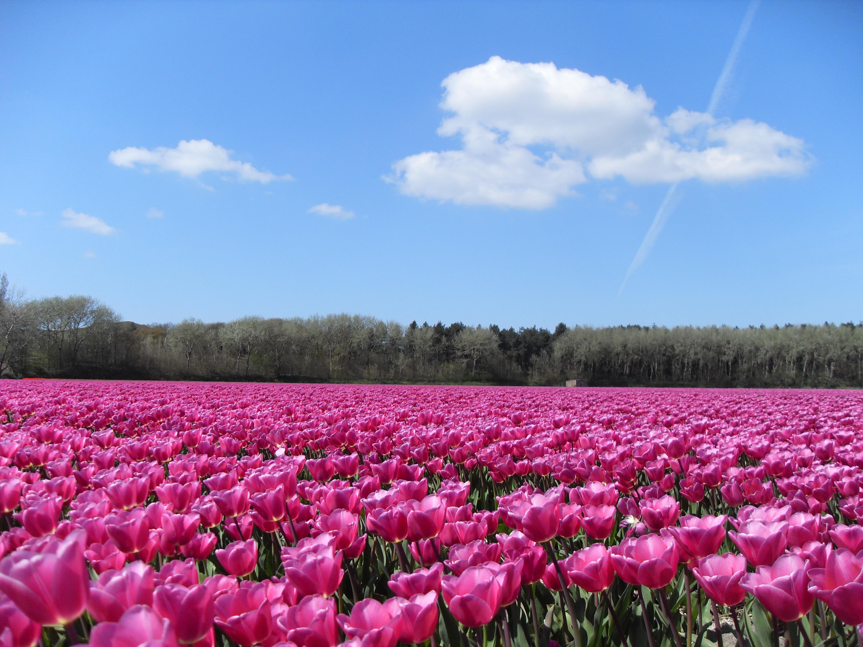 tulipe amsterdam