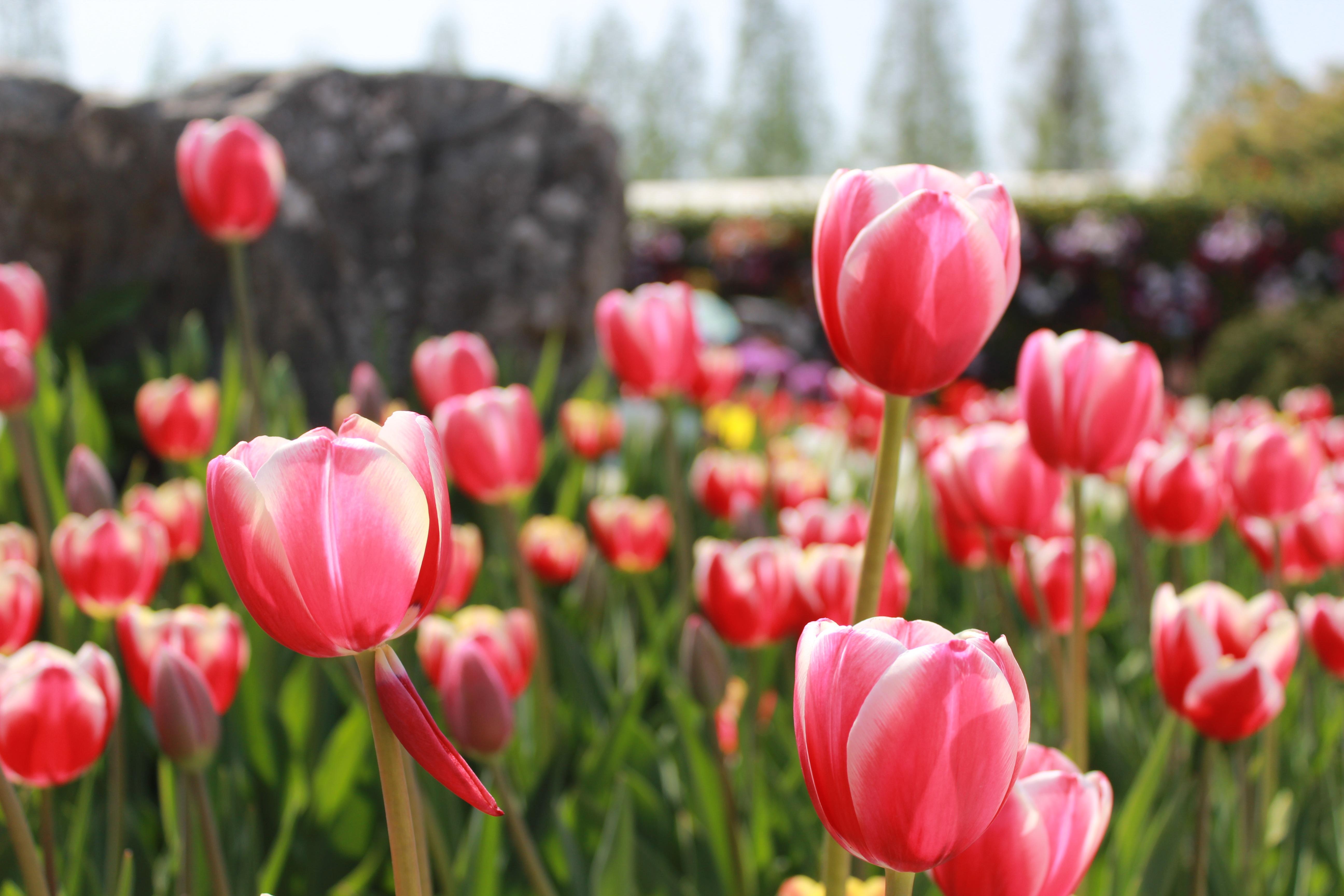Gratuites paysage la nature pétale tulipe vert