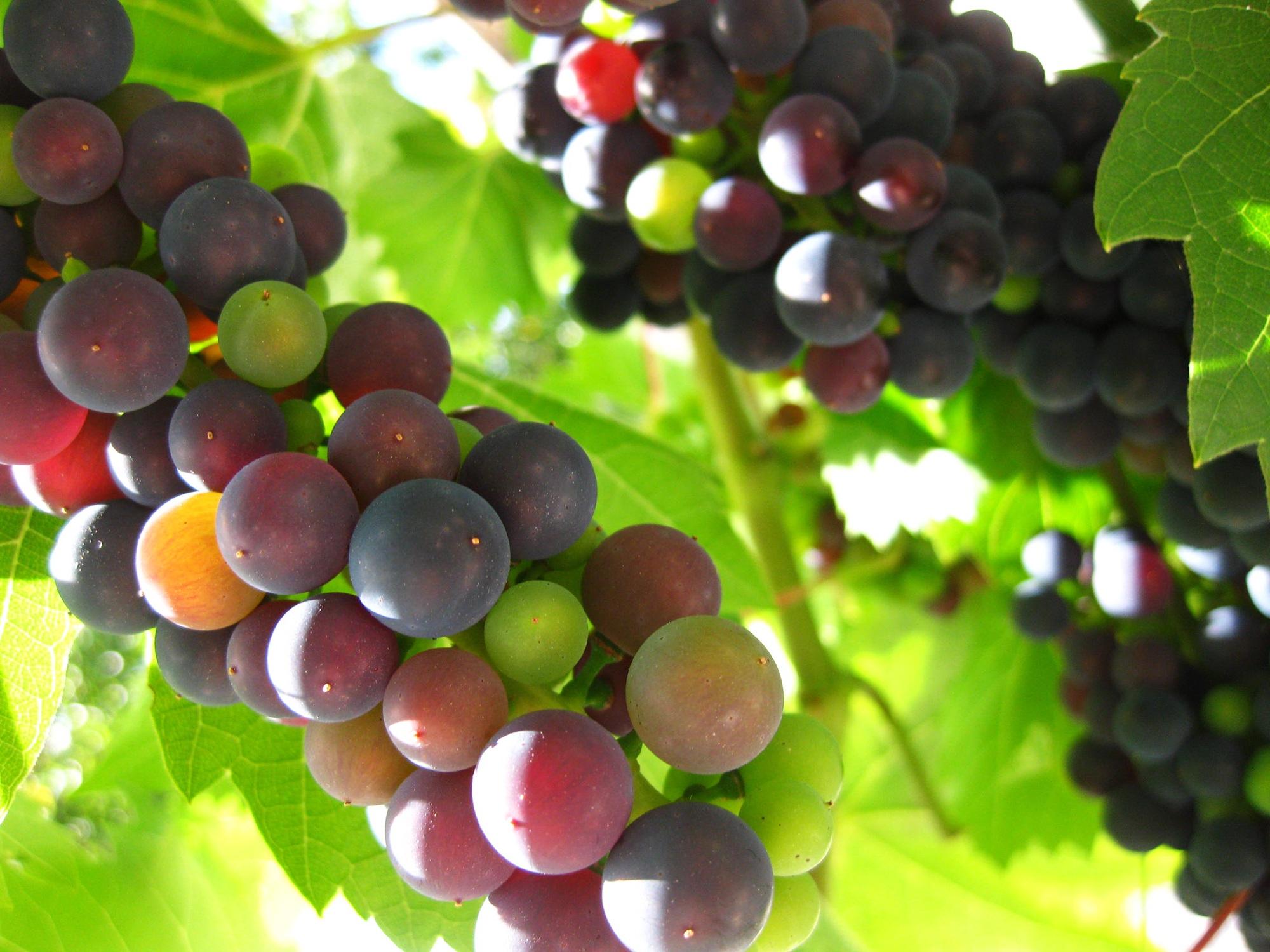 images gratuites paysage la nature grain de raisin du vin fruit doux aliments vert. Black Bedroom Furniture Sets. Home Design Ideas