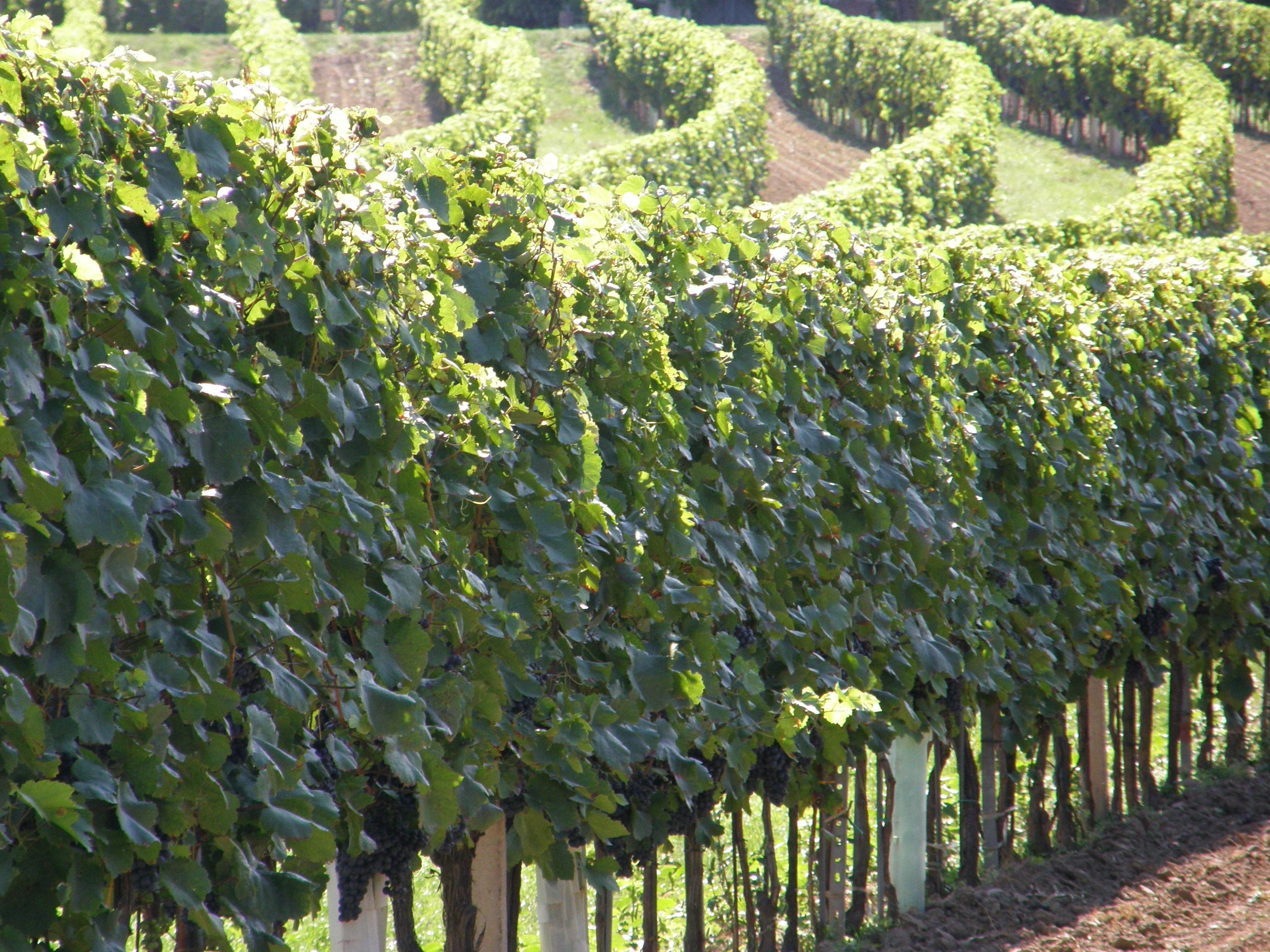 Kostenlose foto Landschaft Natur Weinberg Wein Frucht