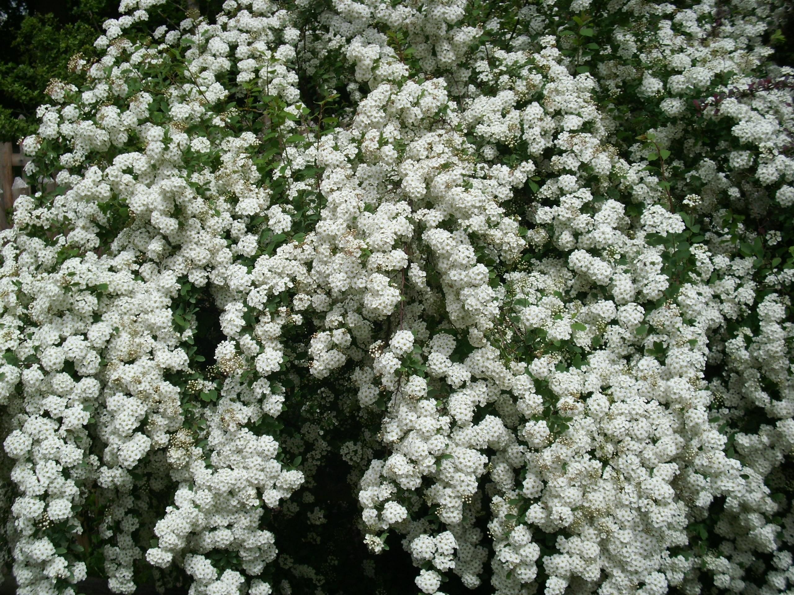 Free Images Landscape Nature White Flower Bloom Bush Spring