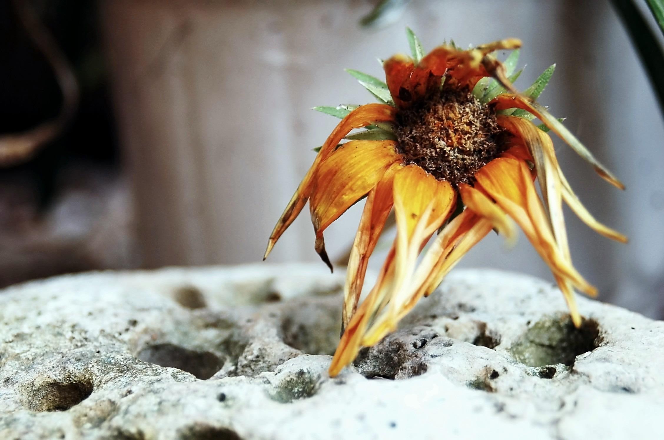картинка засыхающего цветка она изящно, занимает