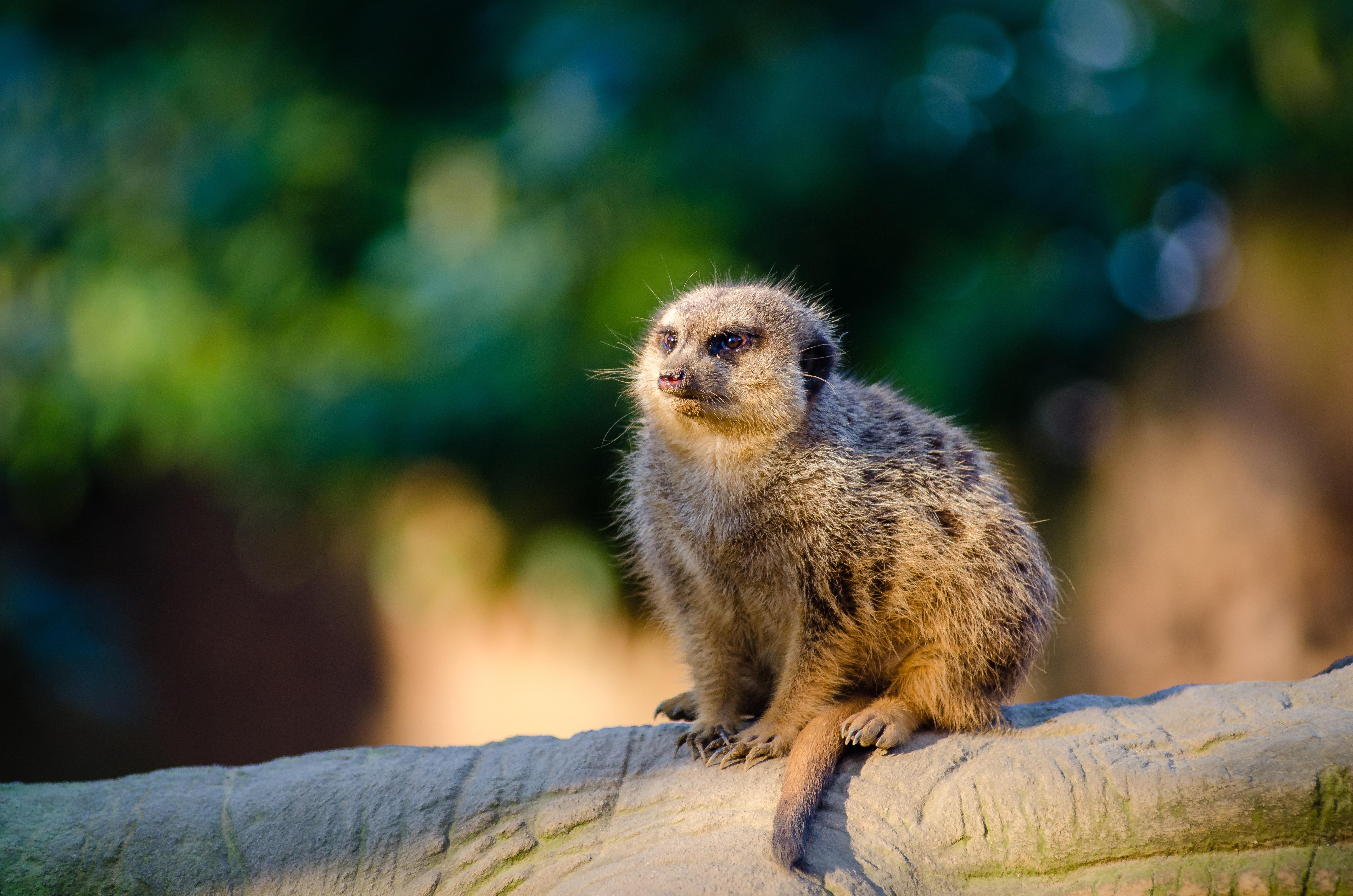 images gratuites paysage la nature faune afrique mammif re primate animal sauvage. Black Bedroom Furniture Sets. Home Design Ideas