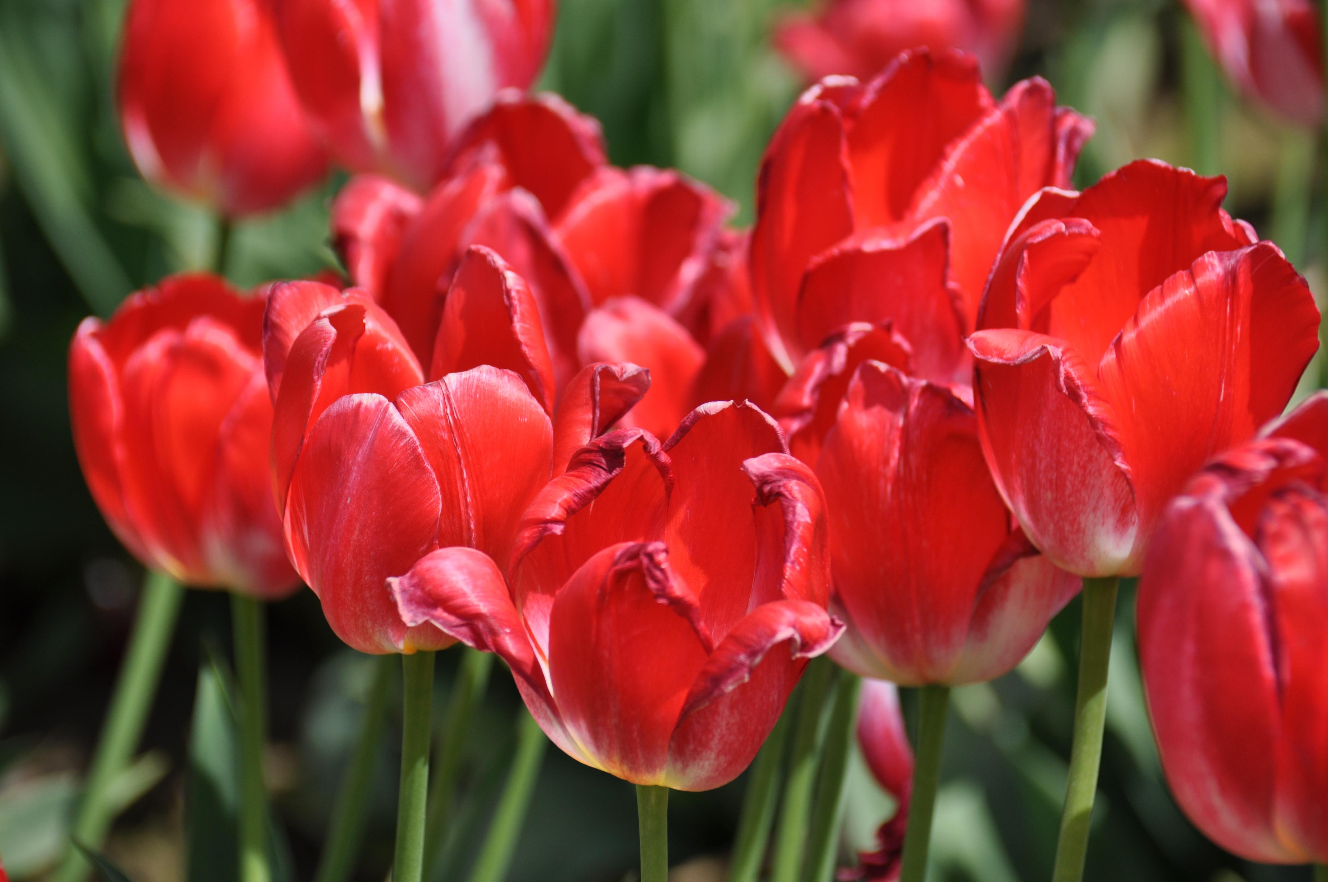 Картинки тюльпаны фотографии