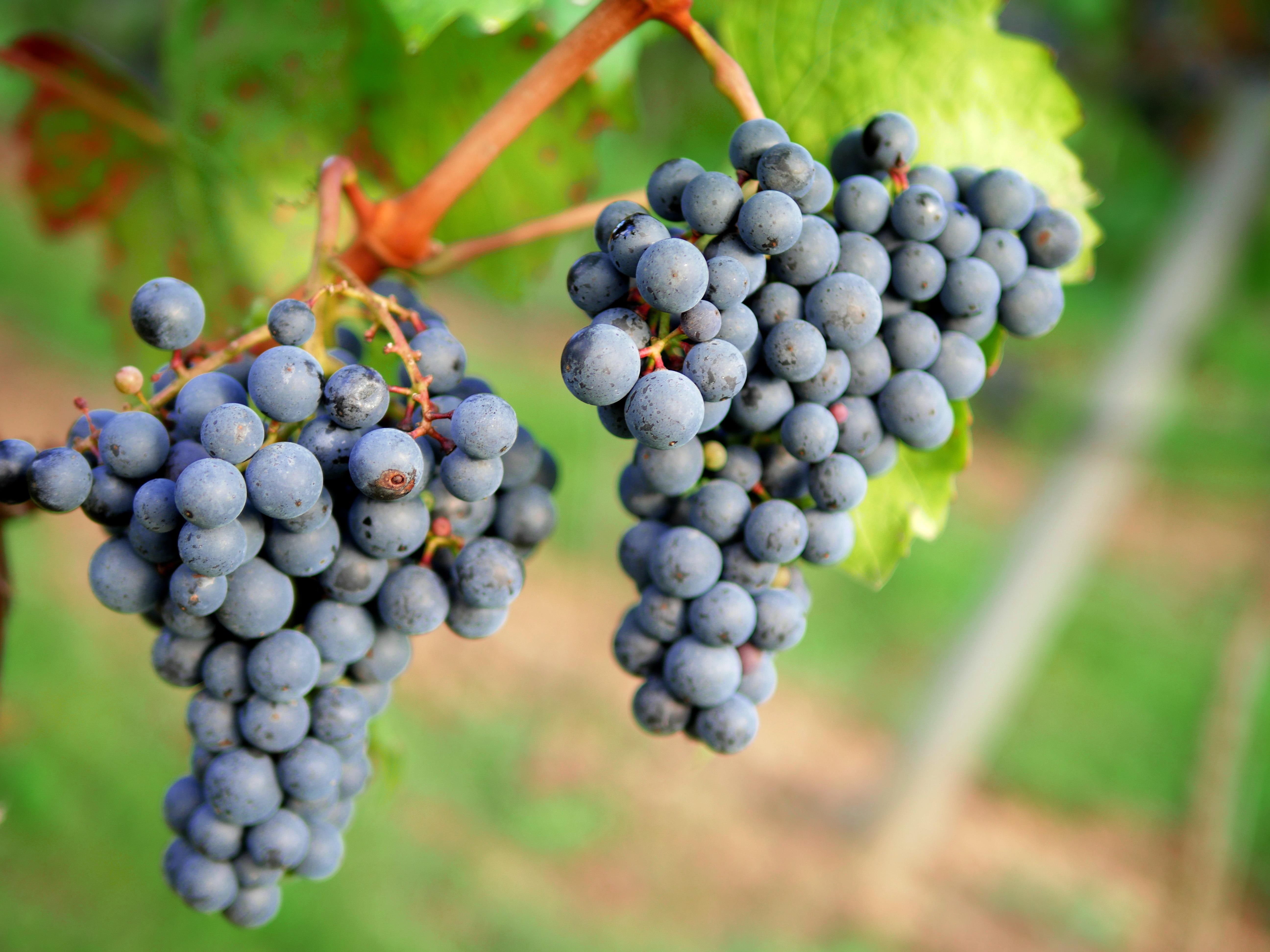 Grape farmer clipart