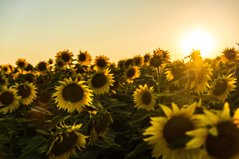 Landscape Plant Sky Field Sunlight Flower Spring Yellow Sunflower Wildflower Flowering Daisy Family Seed