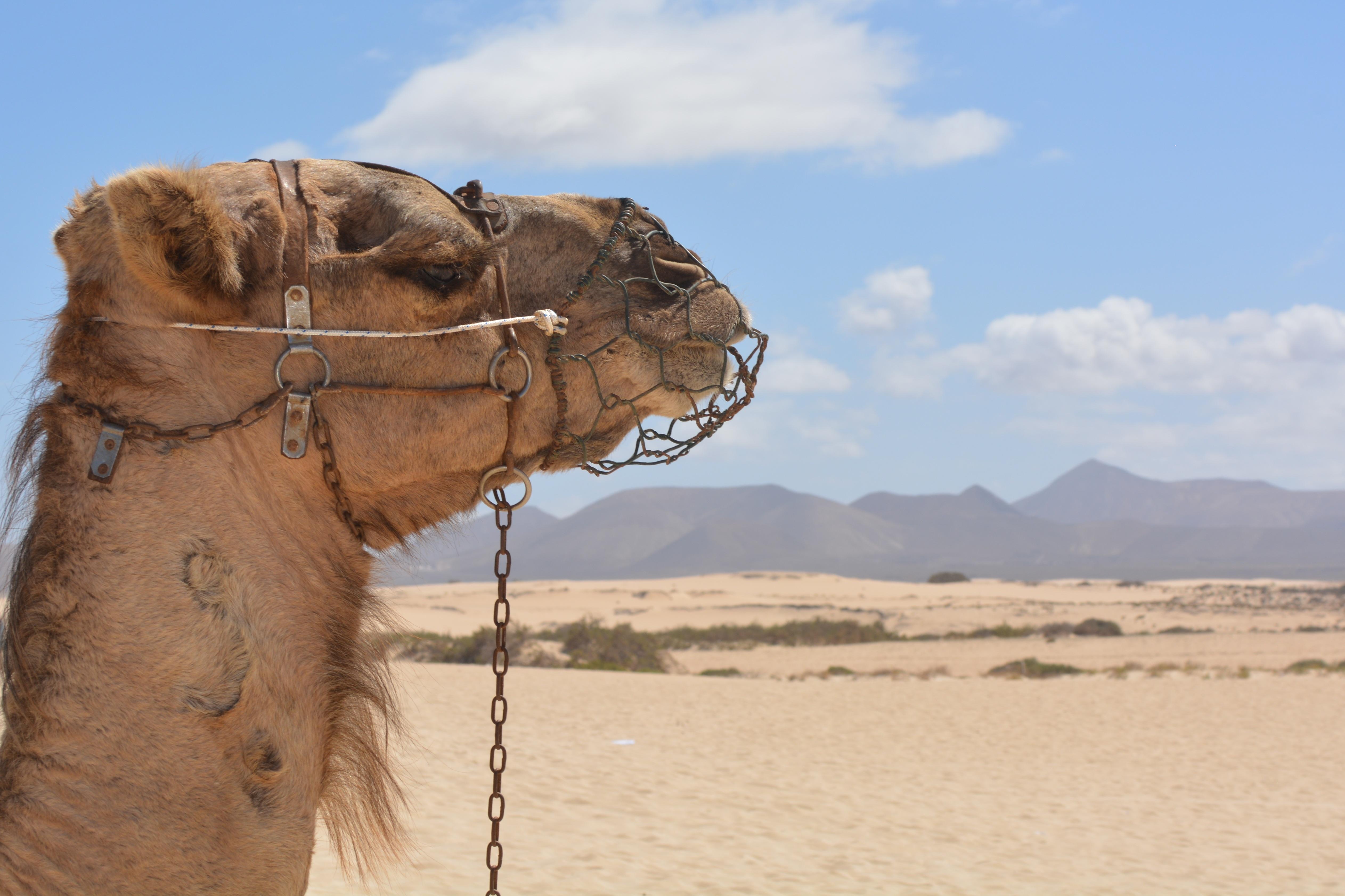 Free Images : landscape, sand, desert, animal, travel ...