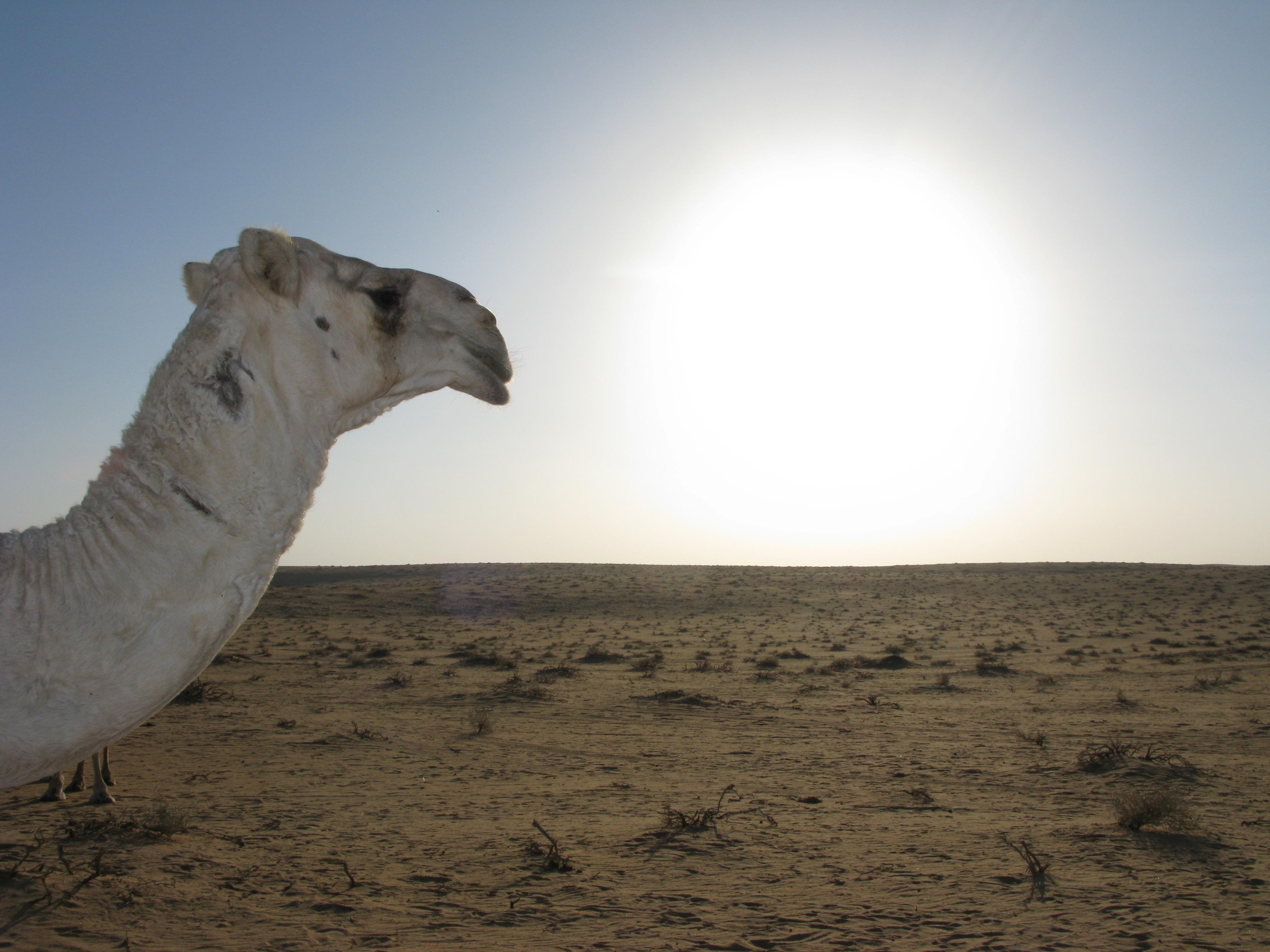 images gratuites paysage mer le sable d sert chameau. Black Bedroom Furniture Sets. Home Design Ideas