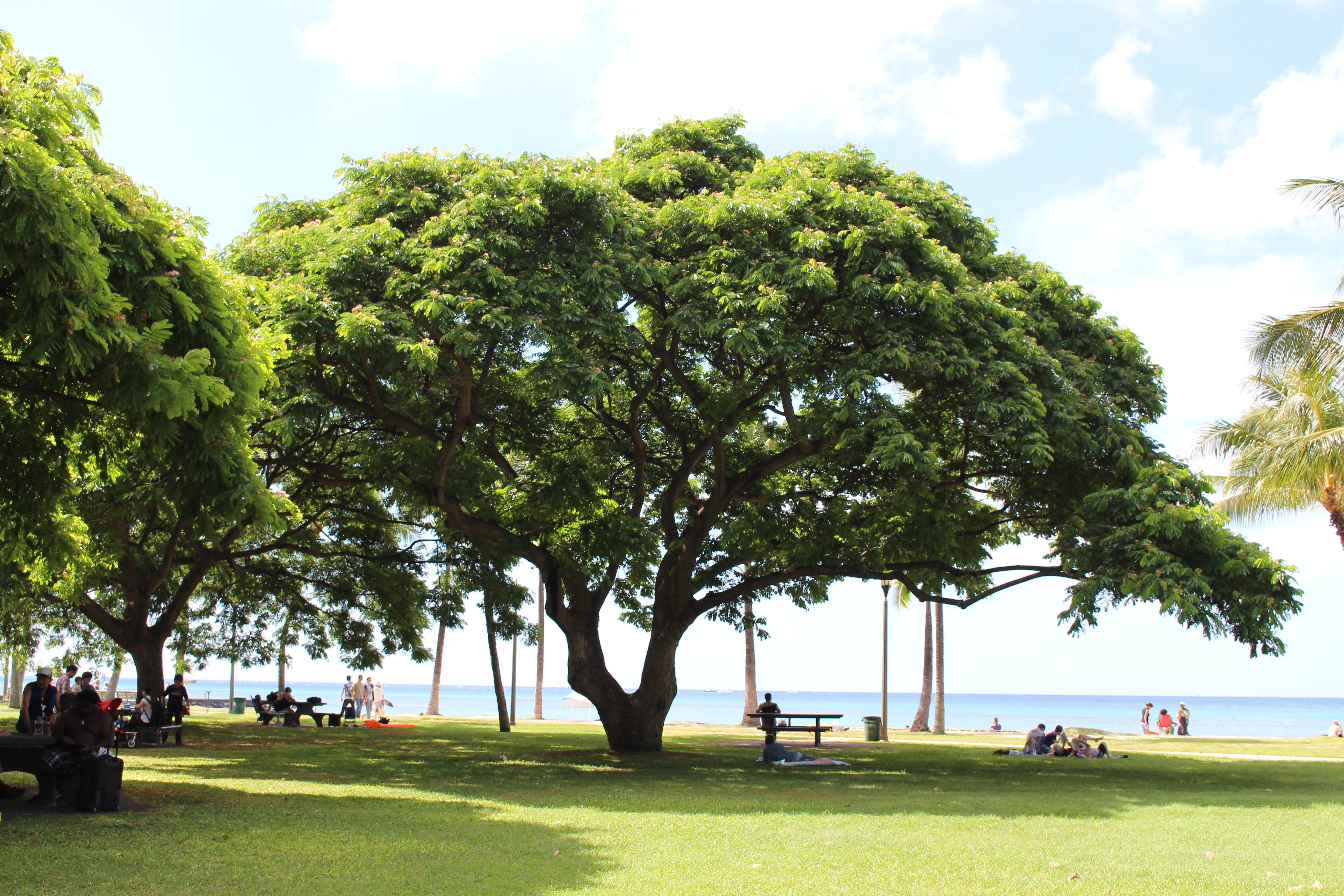 plante bois ensoleillement pelouse palmier feuille vent vert se dtendre brise parc hawaii ciel bleu le du sud grand arbre ciel dt - Arbre Ciel