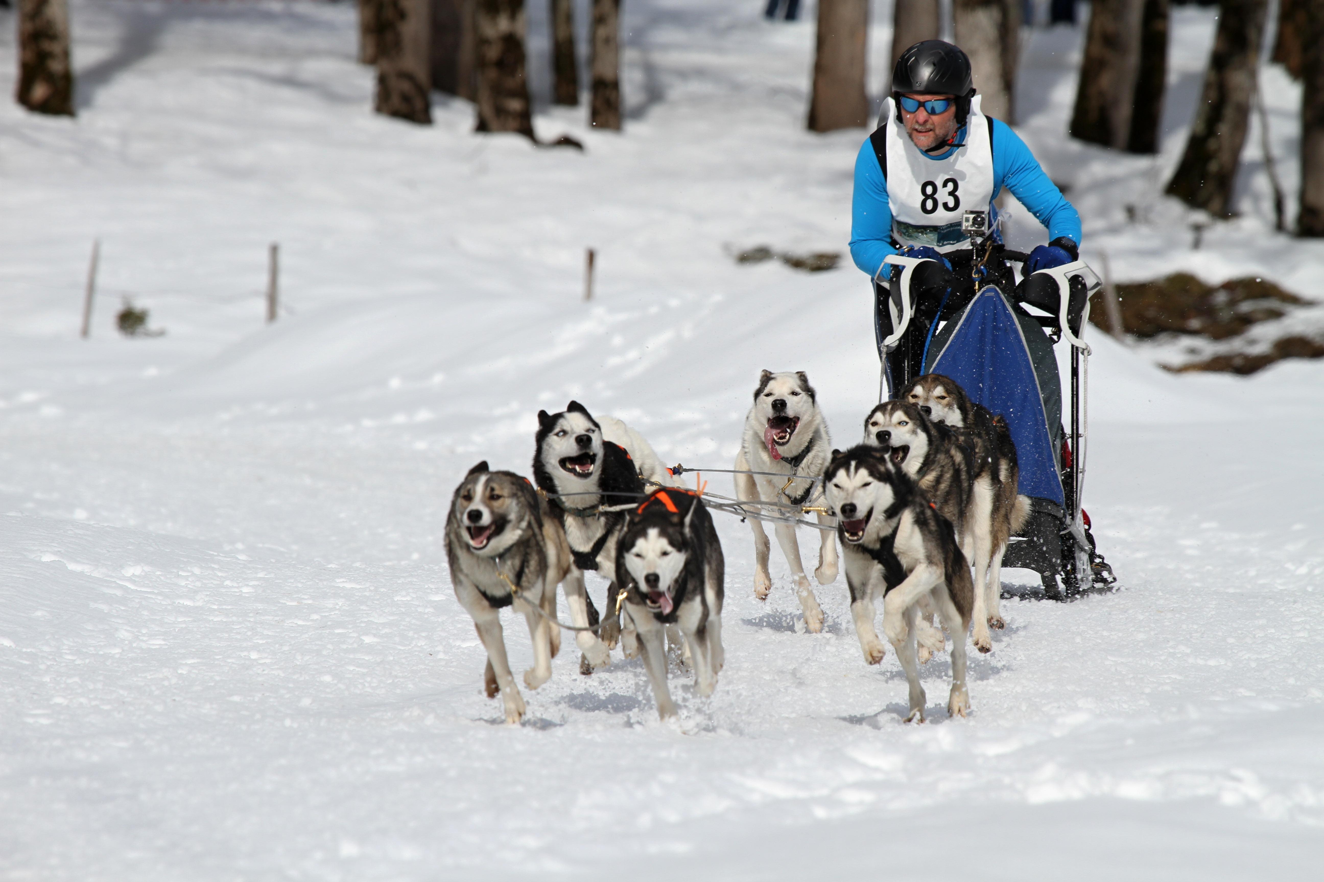 бег на собачьих упряжках