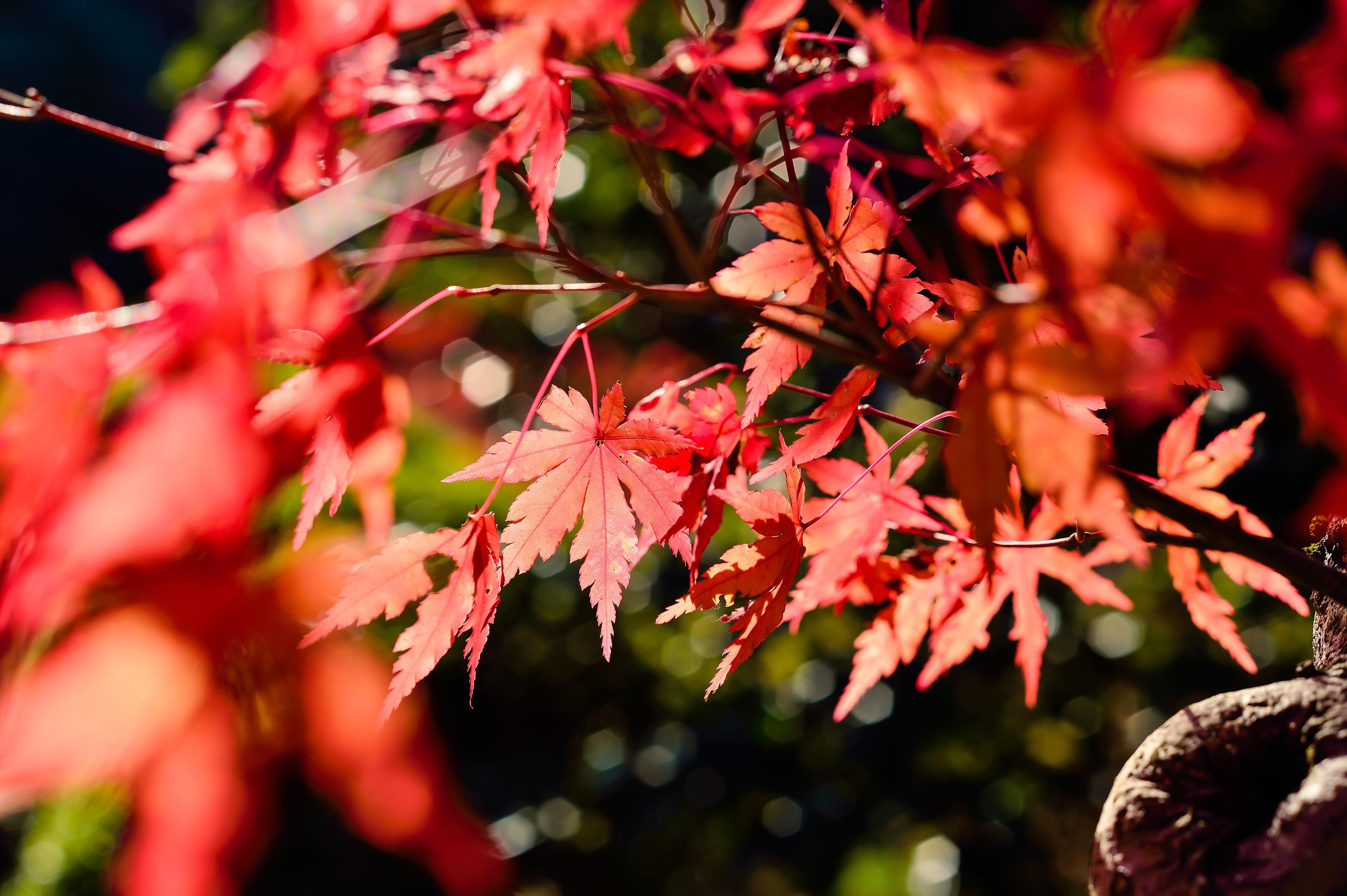 images gratuites paysage arbre branche fleur bois rouge naturel l 39 automne botanique. Black Bedroom Furniture Sets. Home Design Ideas