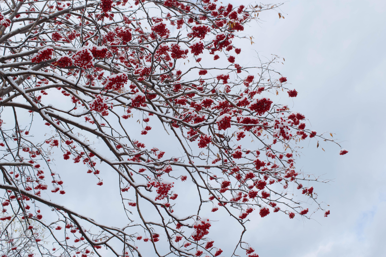 дерево рябины в снегу картинки для меня