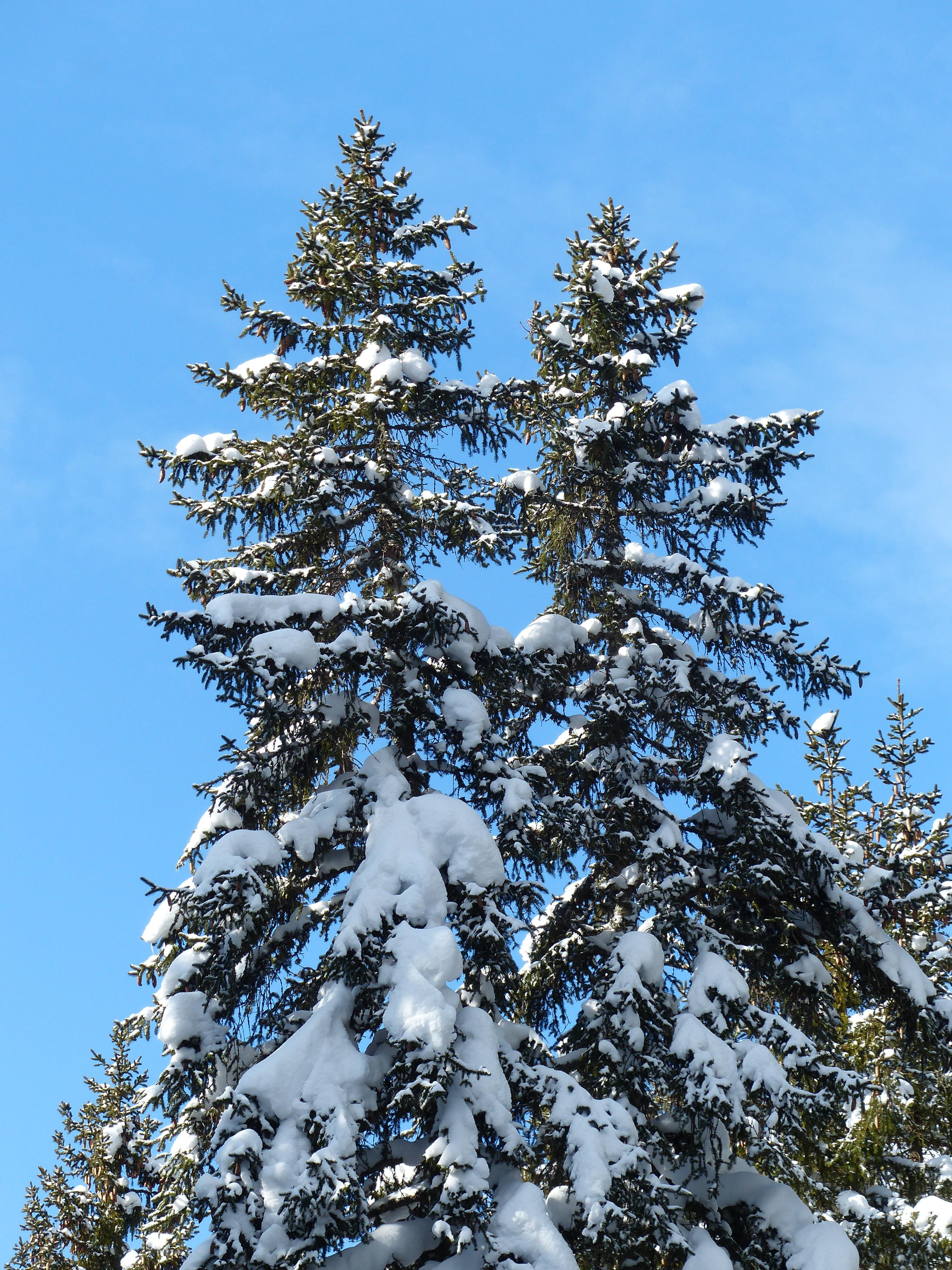 fotos gratis paisaje rama fro planta cielo hojas perennes clima nevado abeto rbol de navidad temporada confera rboles picea