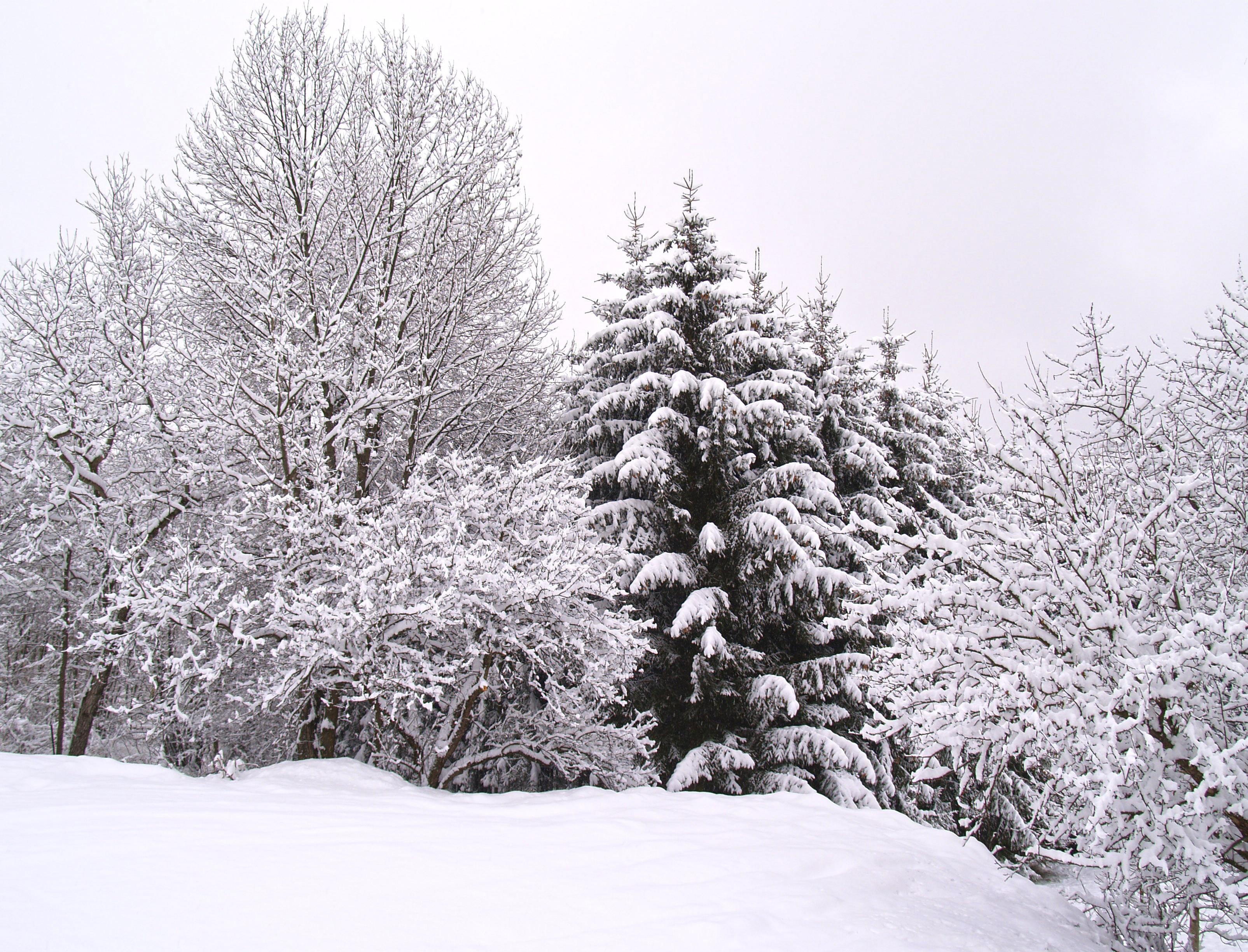 Images gratuites paysage for t branche neige hiver - Photos de neige gratuites ...