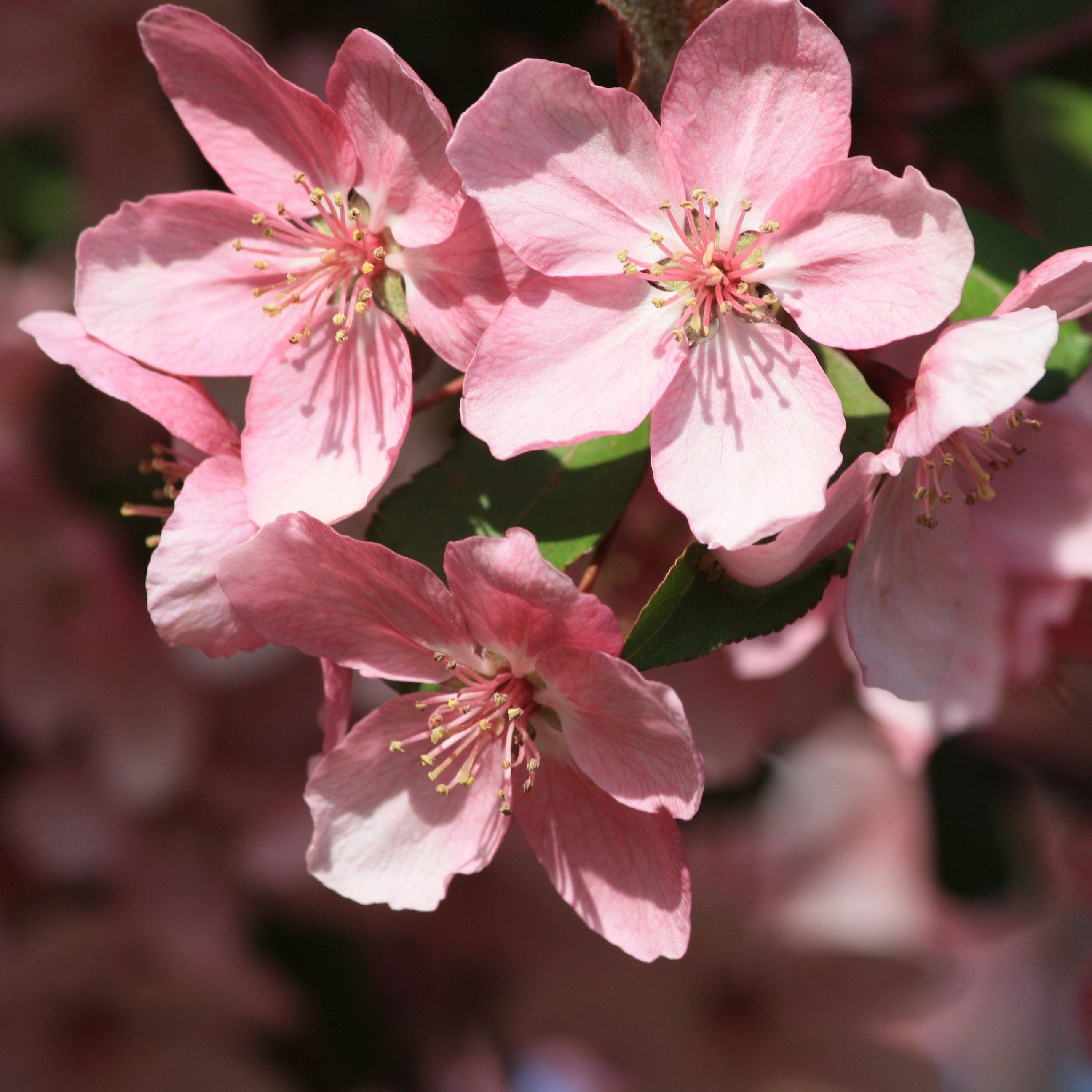 Landscape Tree Nature Blossom Plant Flower Petal Bloom Spring Macro Pink Cherry Close Up Background