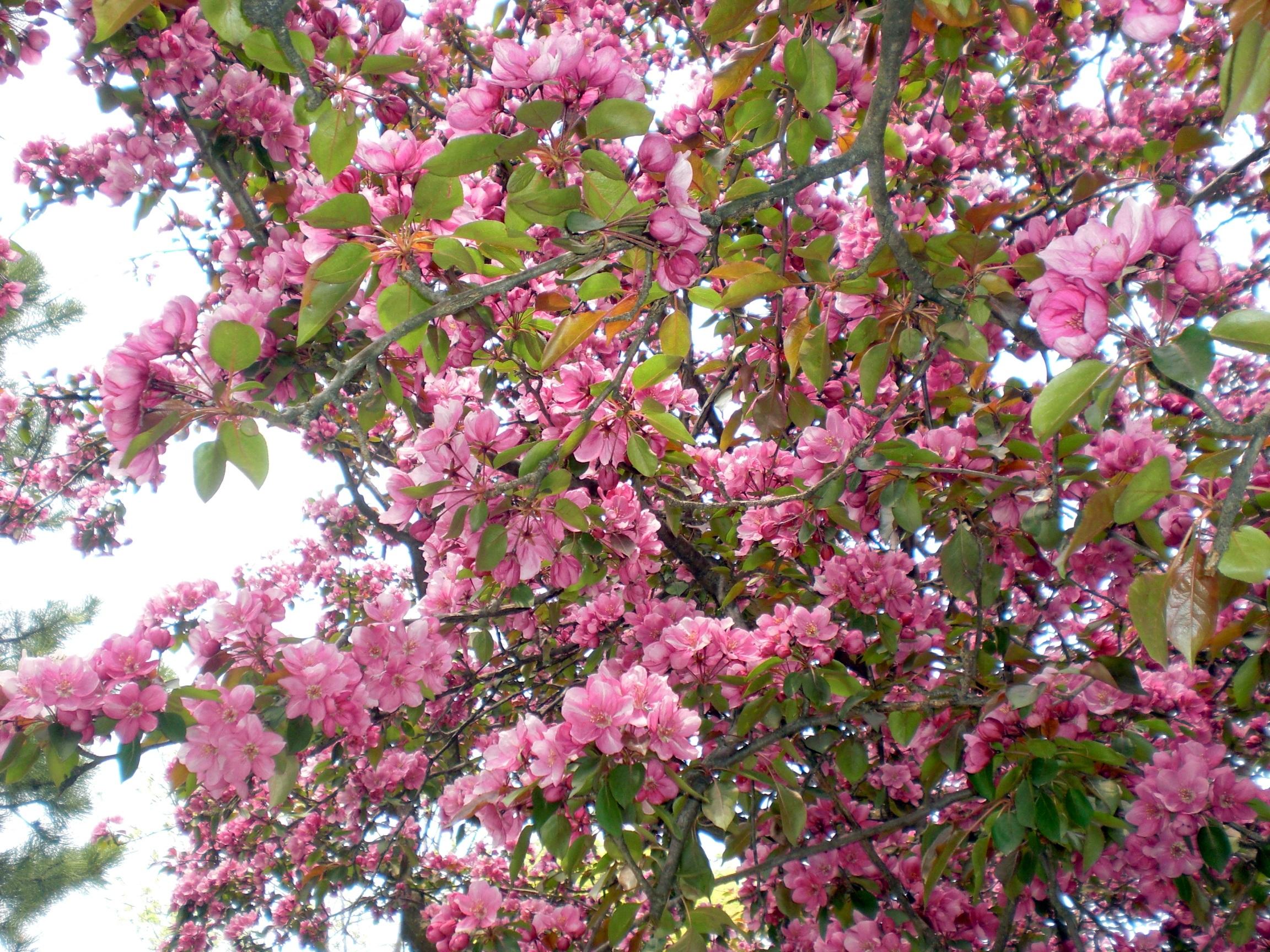 Fotos gratis paisaje rbol rama flor follaje - Arbol de rosas ...