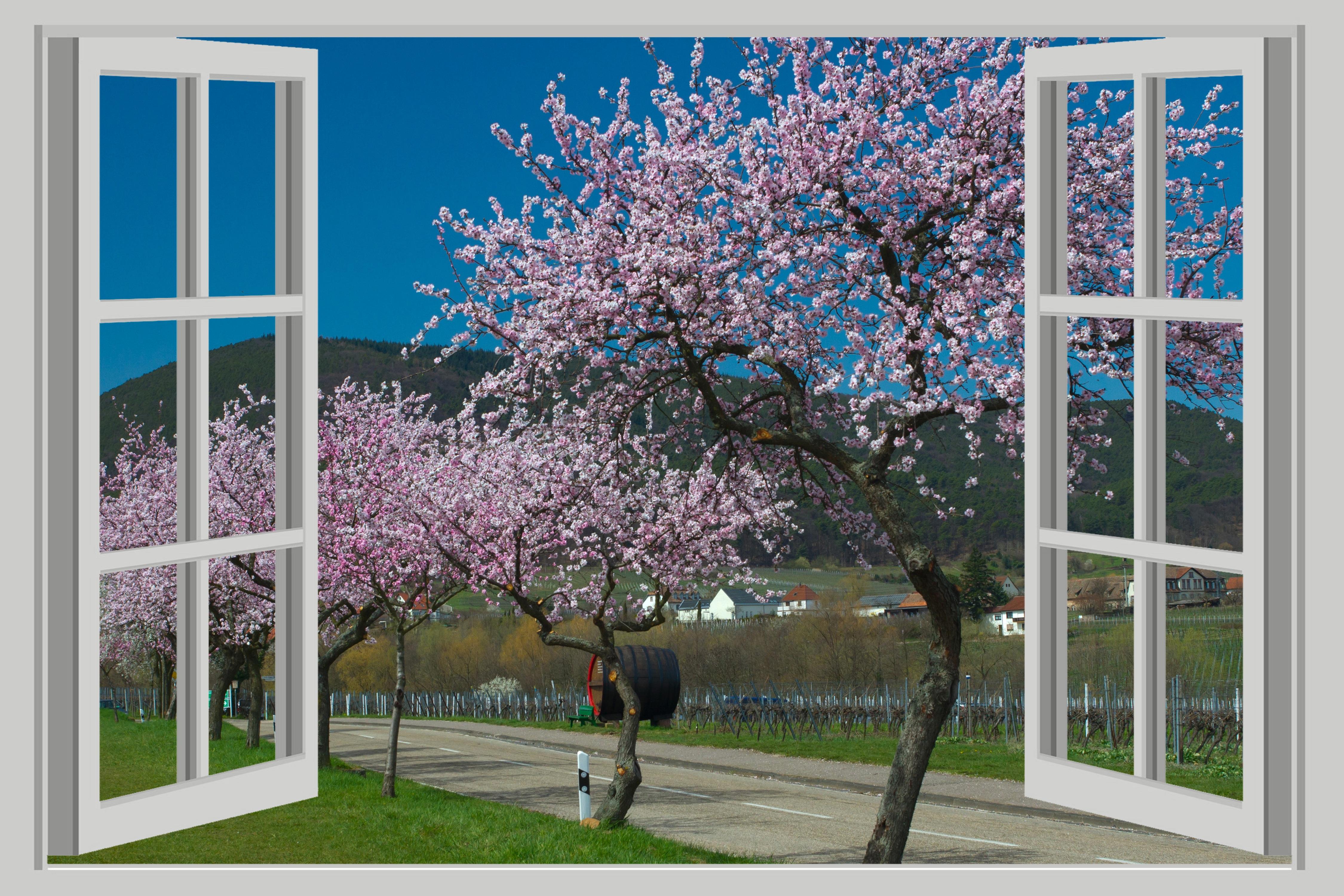экран, фотообои вид из окна на цветущую вишню просто привожу